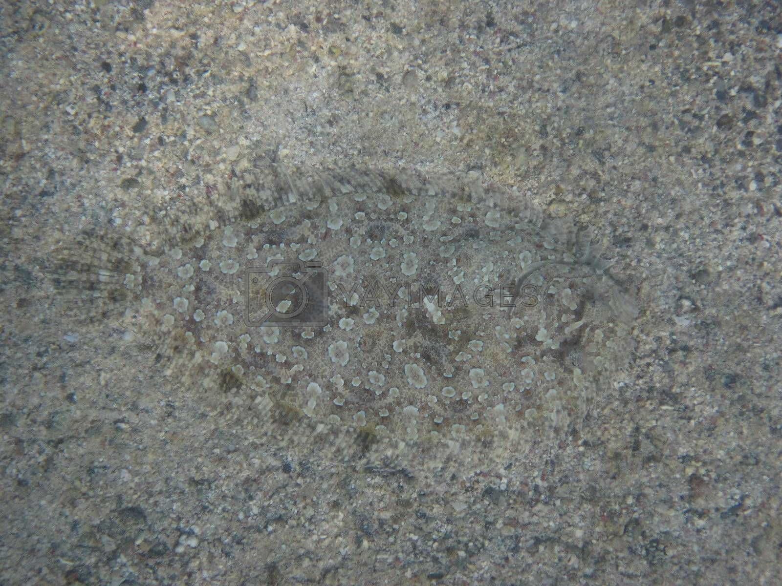 small flat fish with excellent camouflage for the sand on the sea floor