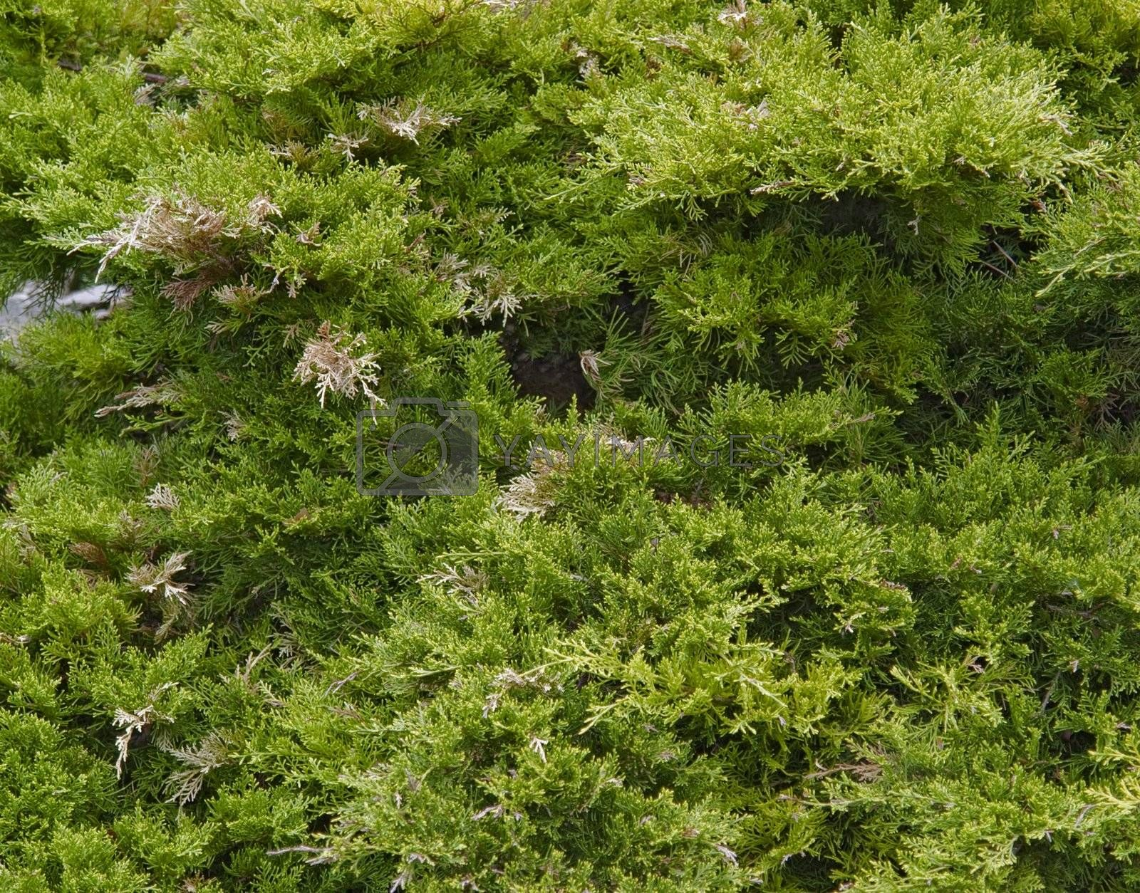 full frame natural background showing thuja foliage