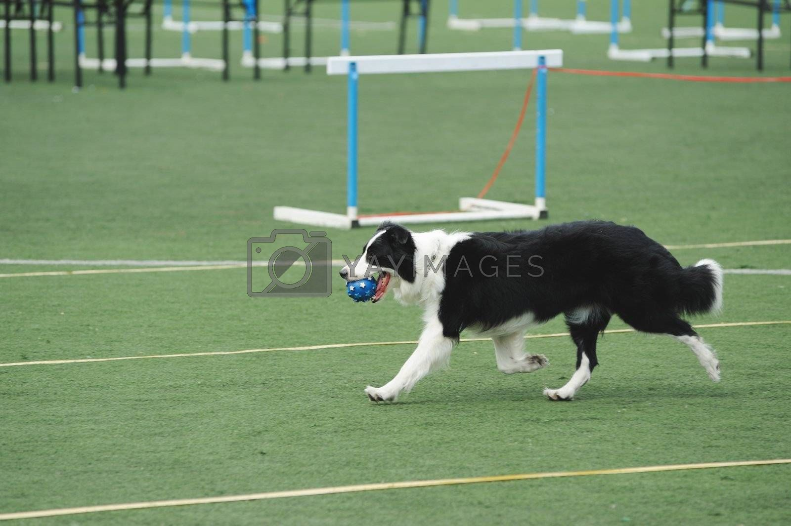 Border Collie holding a ball in the mouth and running on the playground