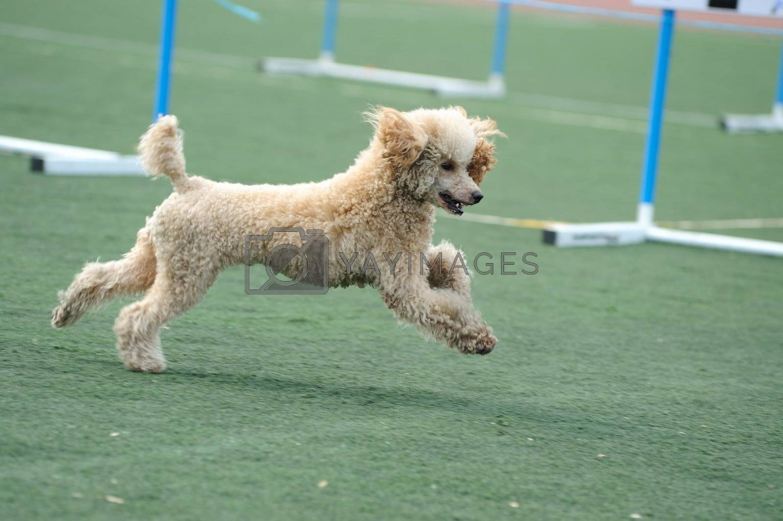 Lovely Poodle dog running on the playground