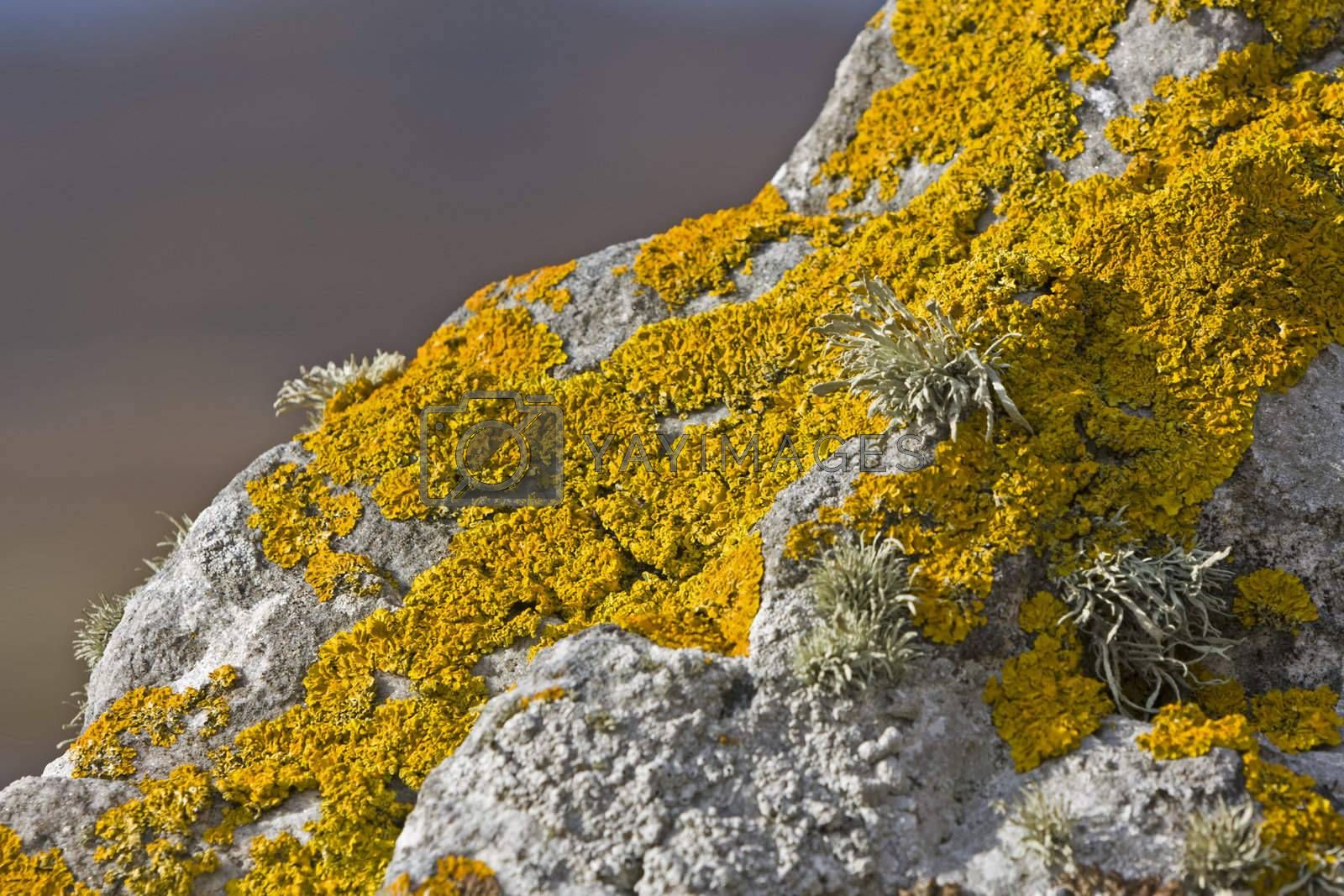 yellow lichen on stone in close up shot