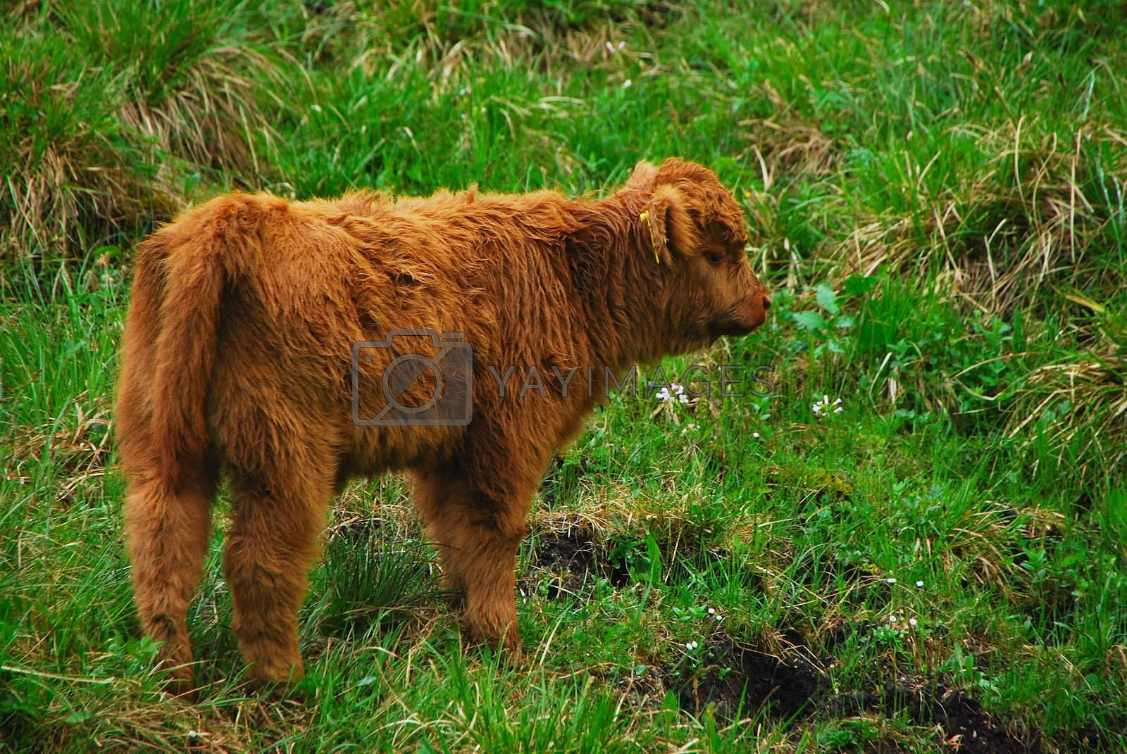 dear little baby highland cow on the green meadow farm