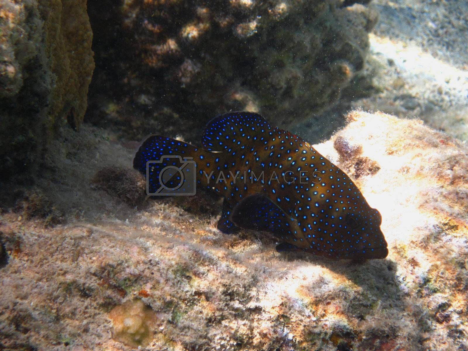 colorful blue dot fish in the red sea between coral reef