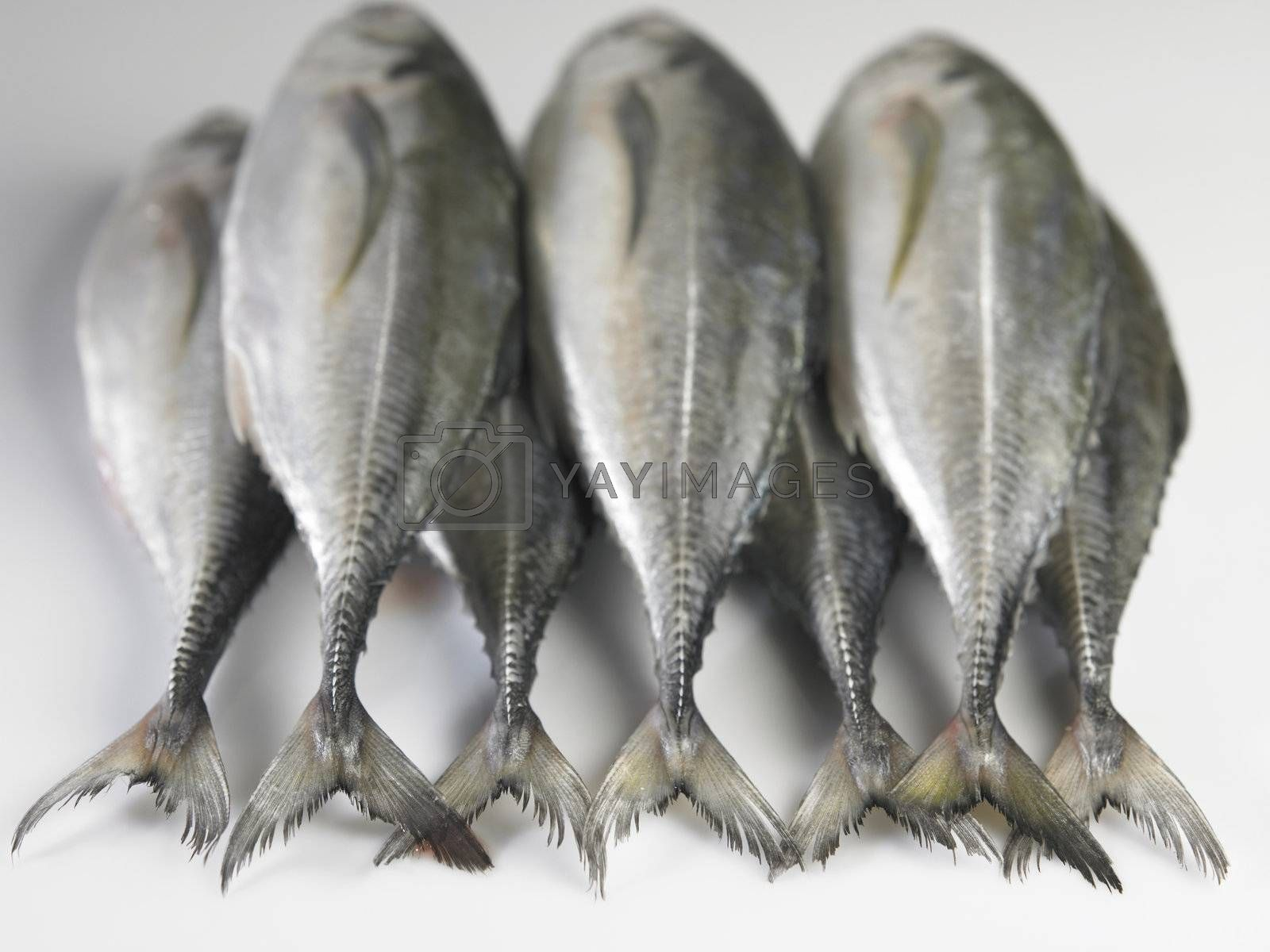 Marine fish collection isolated on plain background.