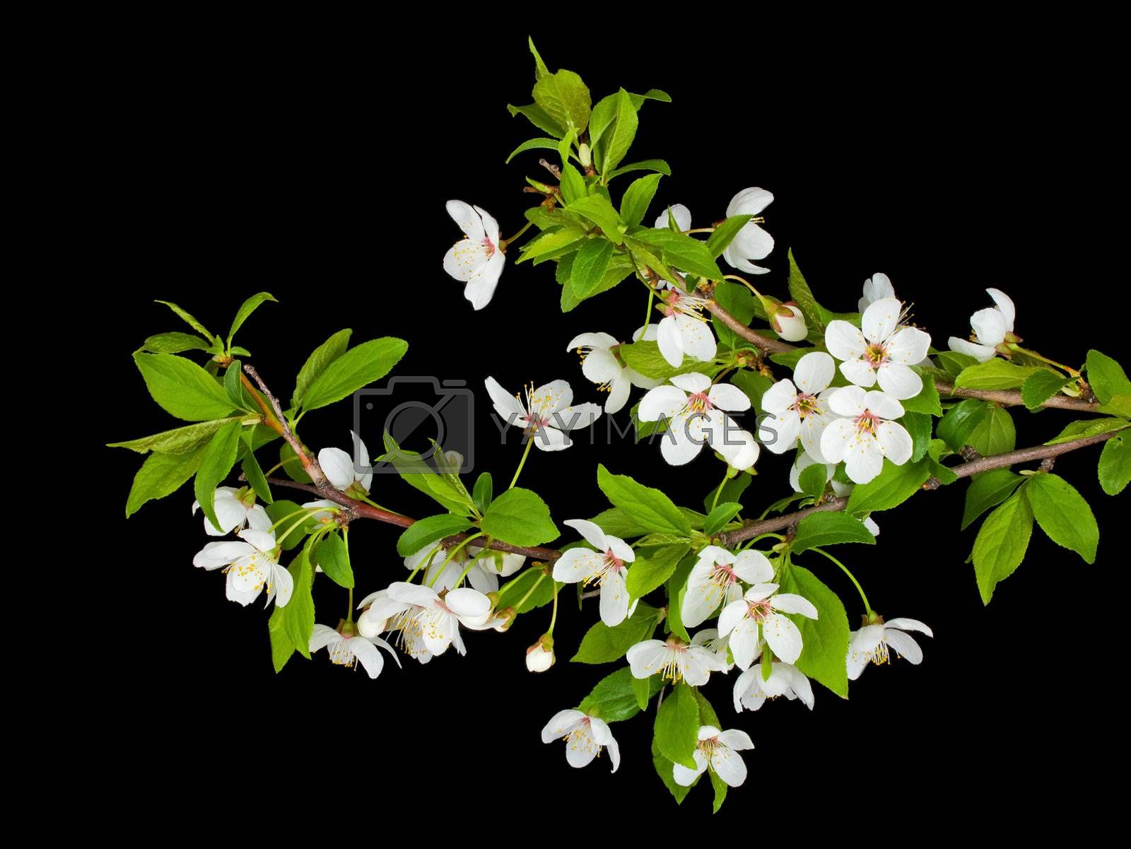 blooming branches of plum tree by Alekcey