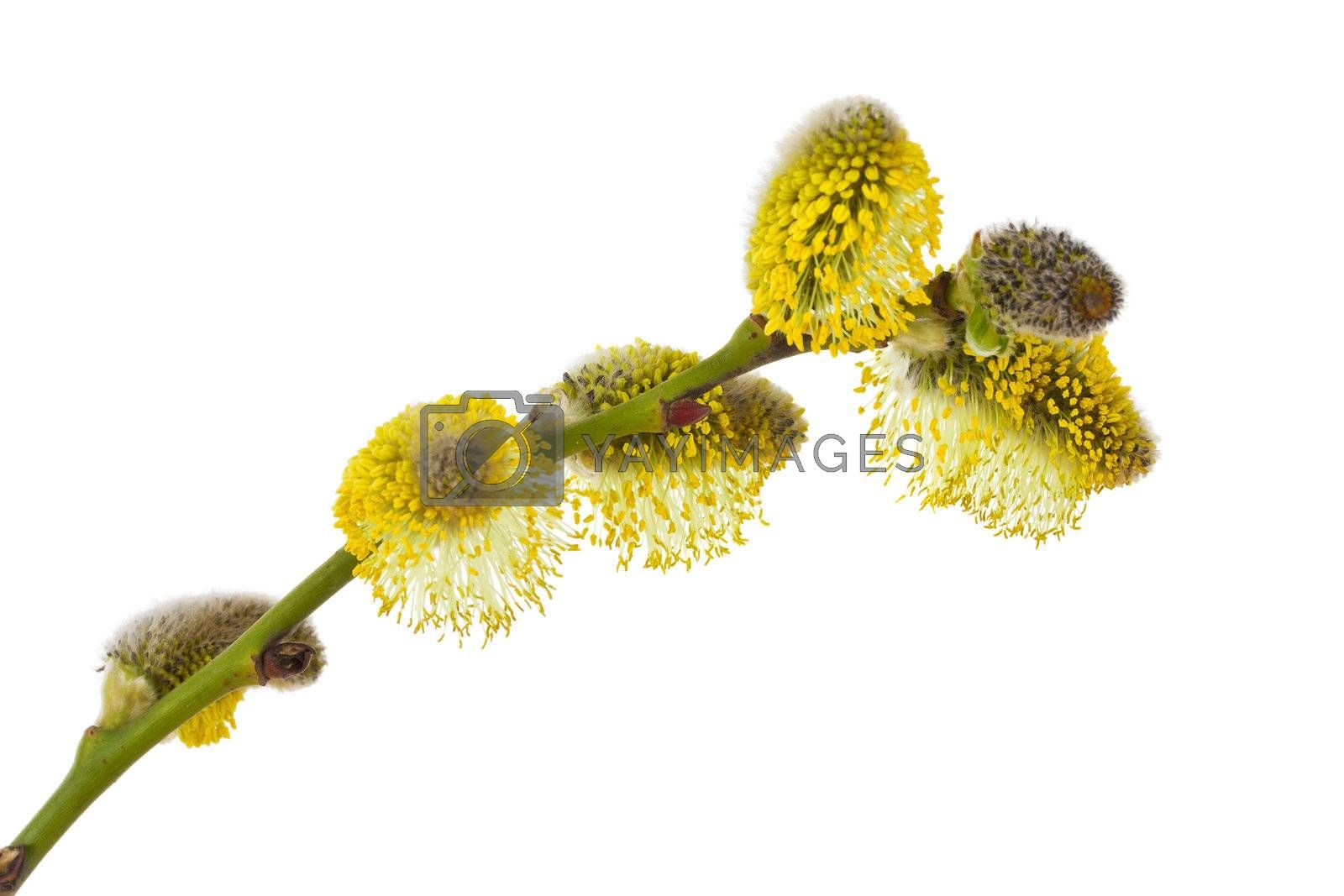 close-up pussy willow branch, isolated on white