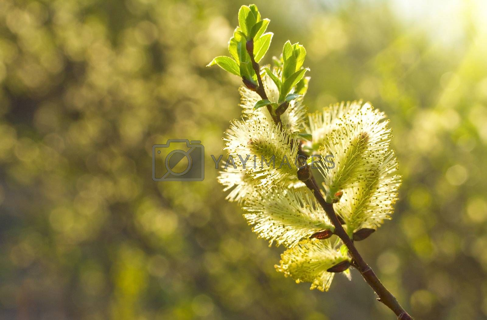 pussy willow branch in sunlight