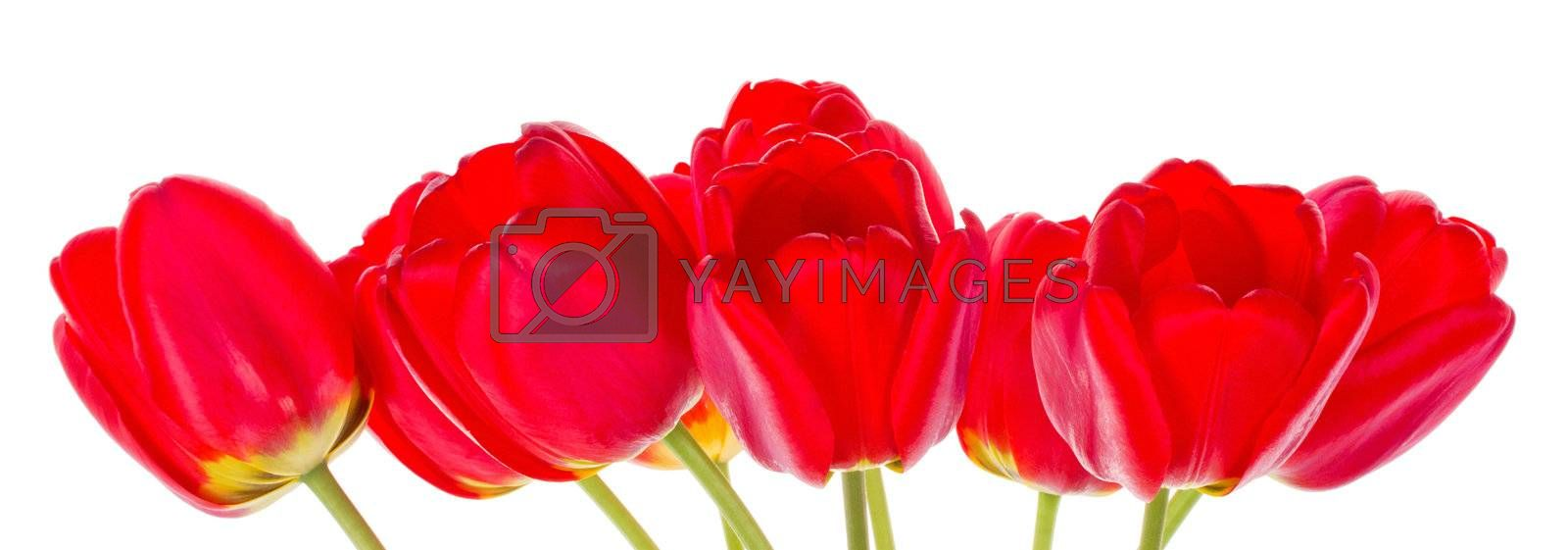 close-up red tulips, isolated on white