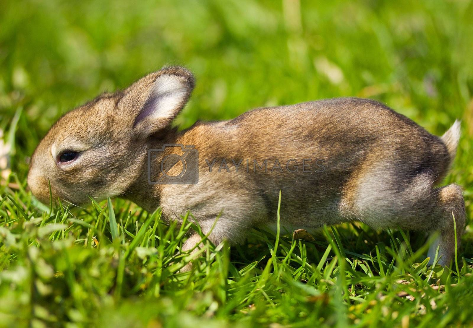gray bunny on green grass background