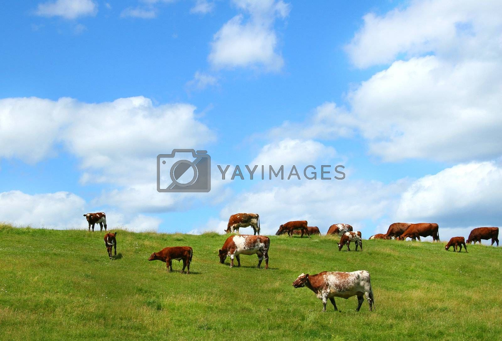 Cows grazing on the hill