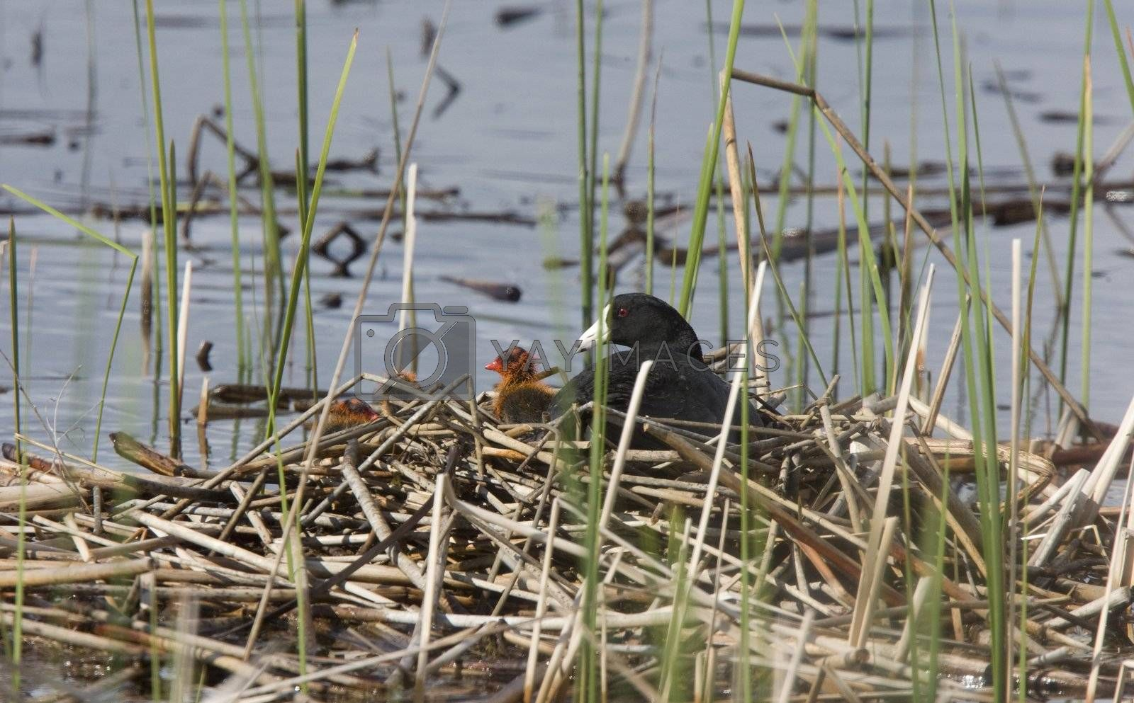 Royalty free image of Coot or Waterhen with babies by pictureguy