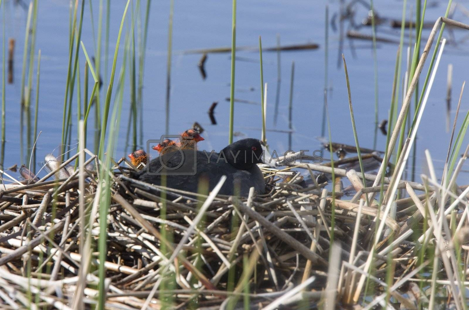 Coot or Waterhen with babies by pictureguy