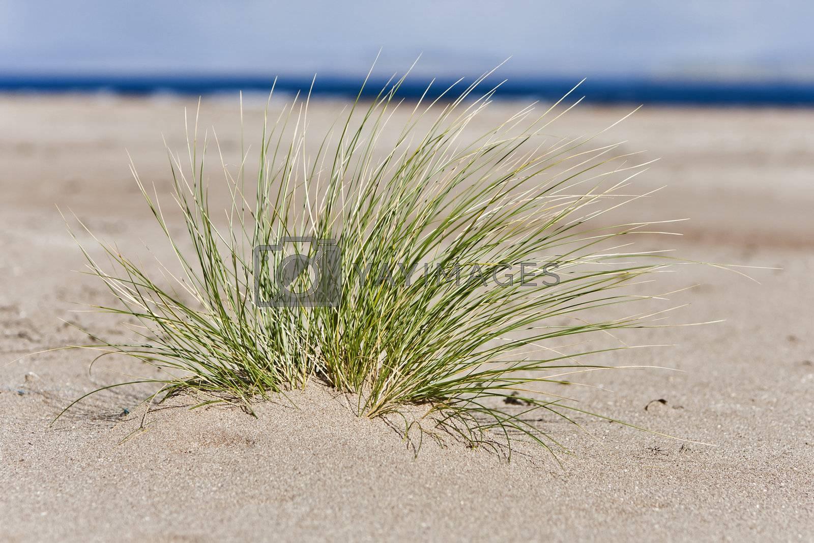 single hassock in sand at coastline. horizontal image