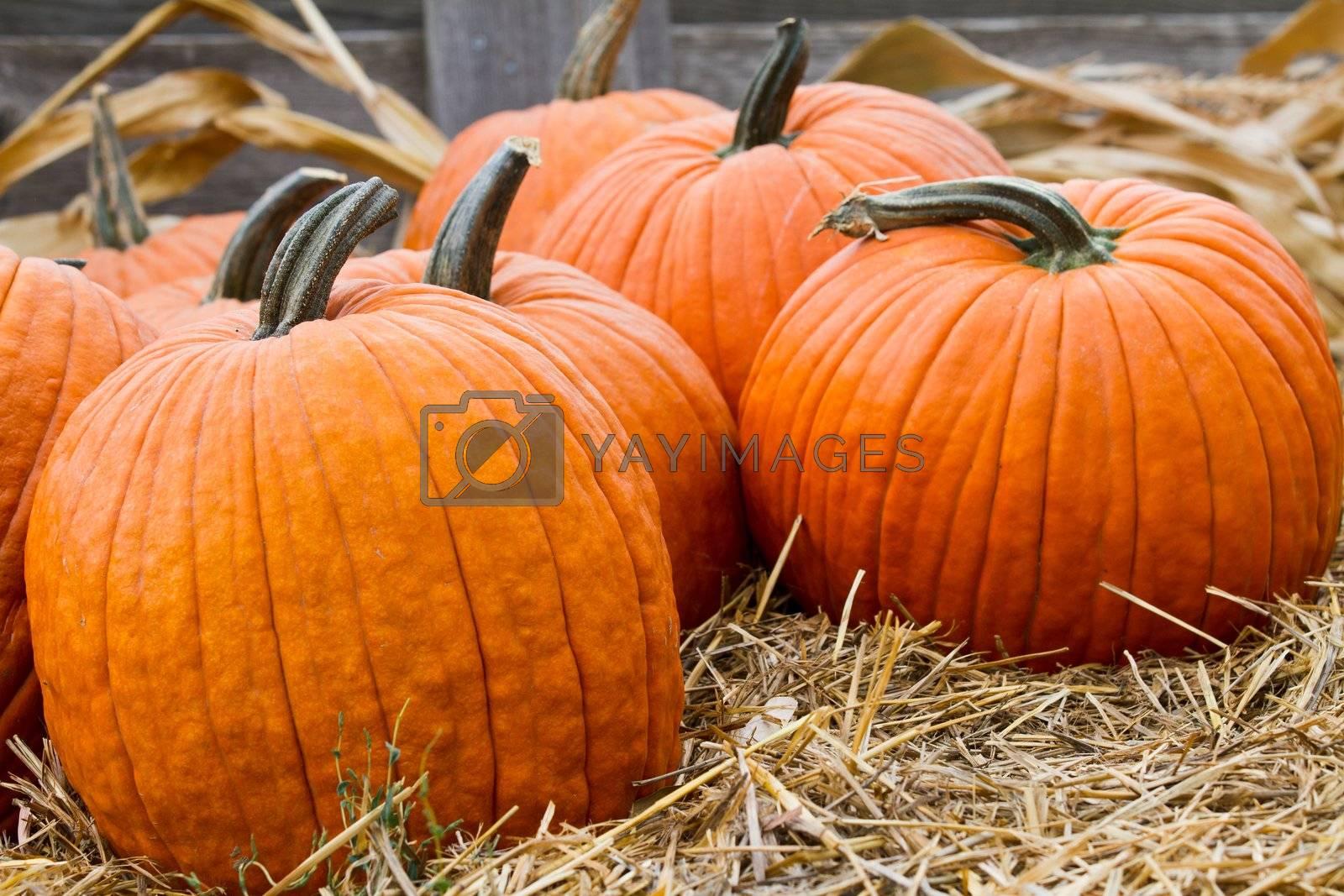 Orange uncarved pumpkins sitting on a bed of hay