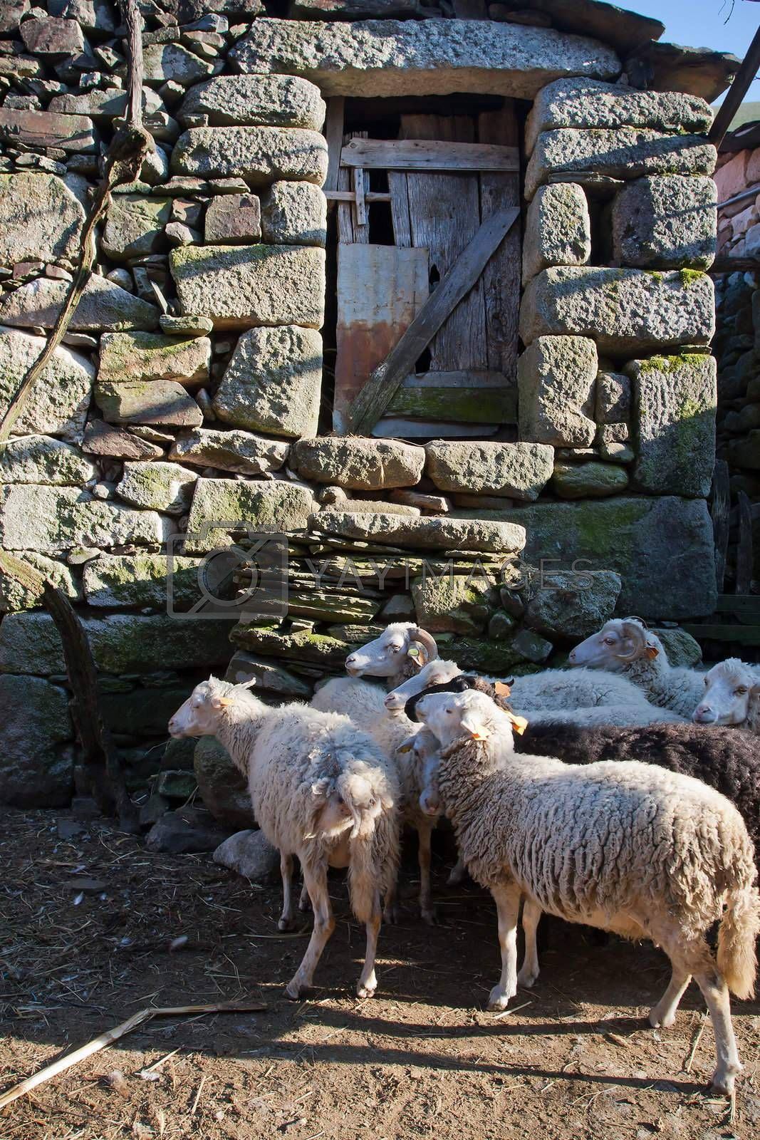 Heard of sheeps on old village of Regoufe on the rural Portugal.