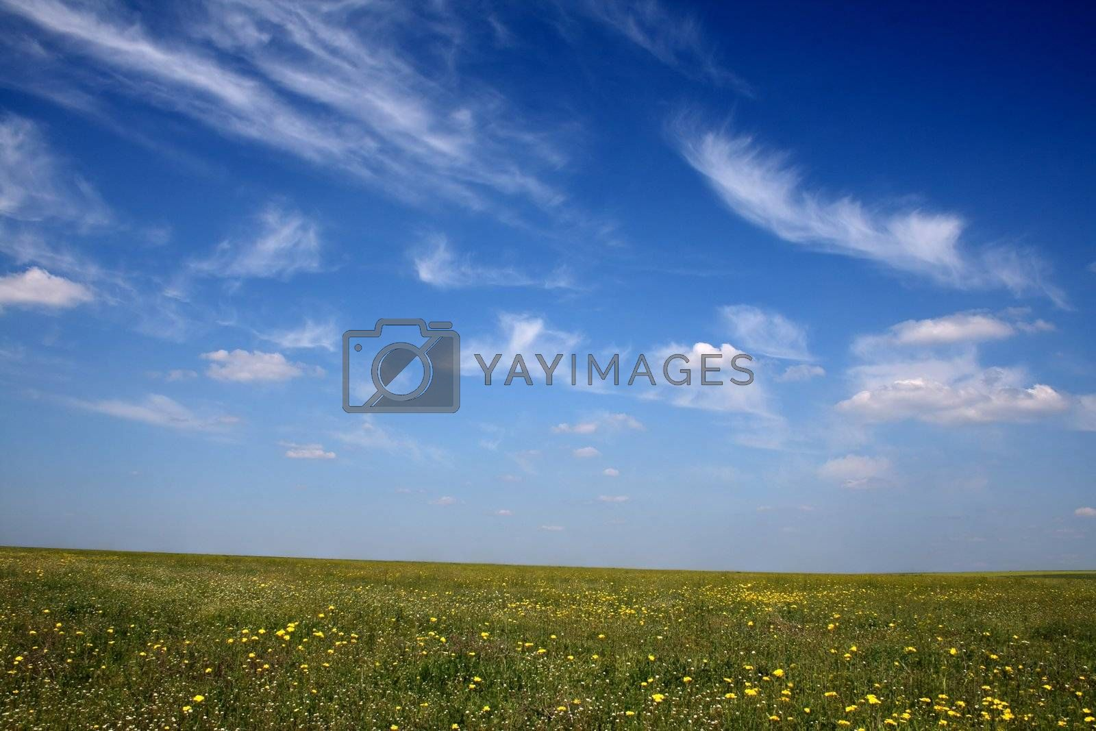 Meadow with yellow flowers on a calm sunny day