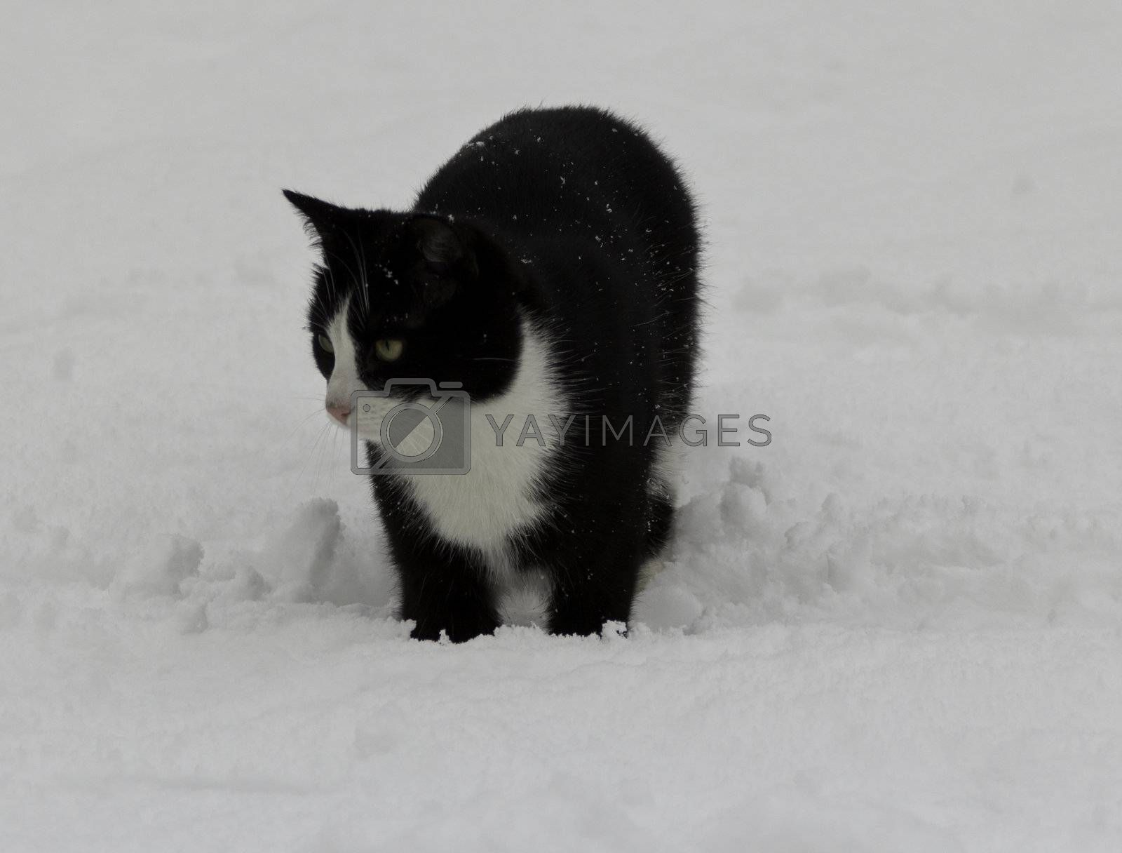 black cat in the snow