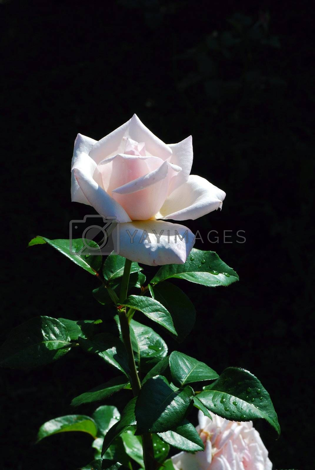 fresh pink rose with a black background in the summer
