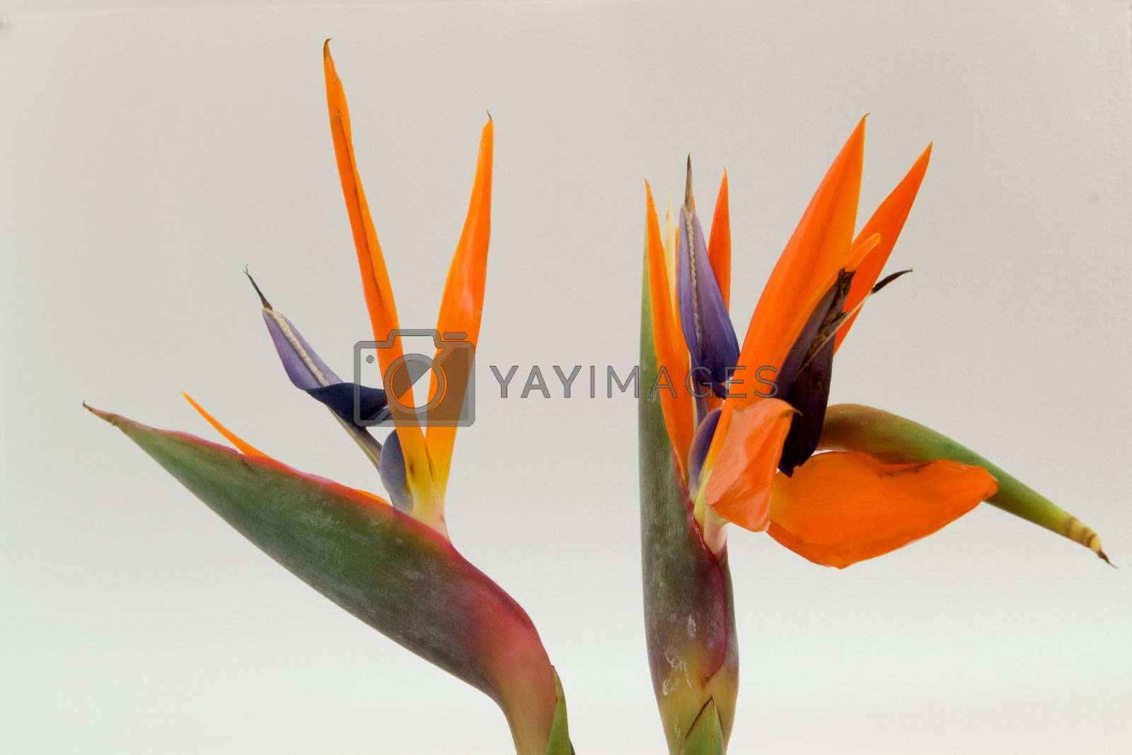 Two Bird of Paradise flowers isolated
