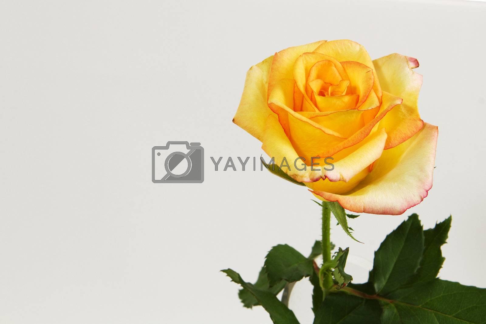 Single Yellow rose on white background