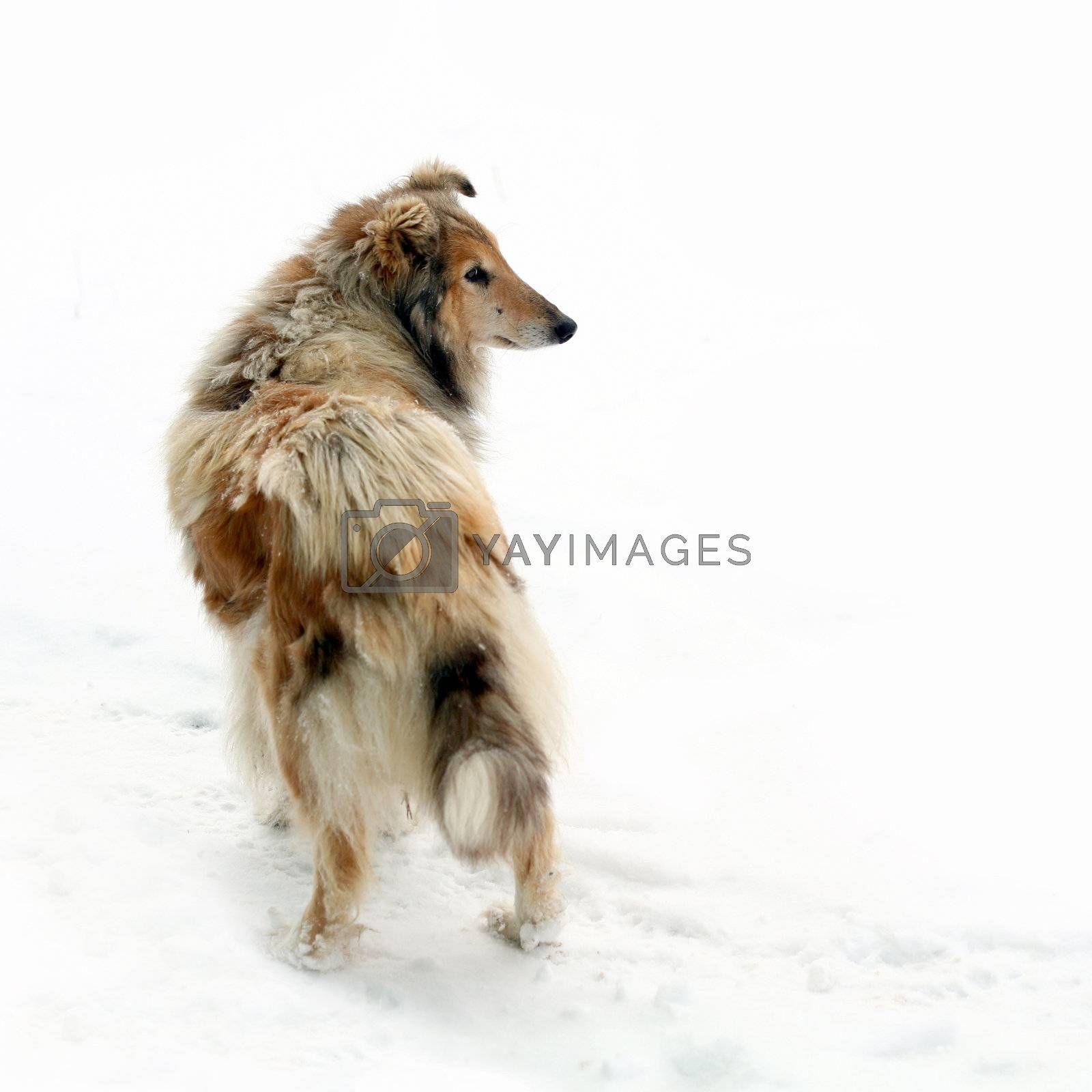 An image of a fluffy dog on white background
