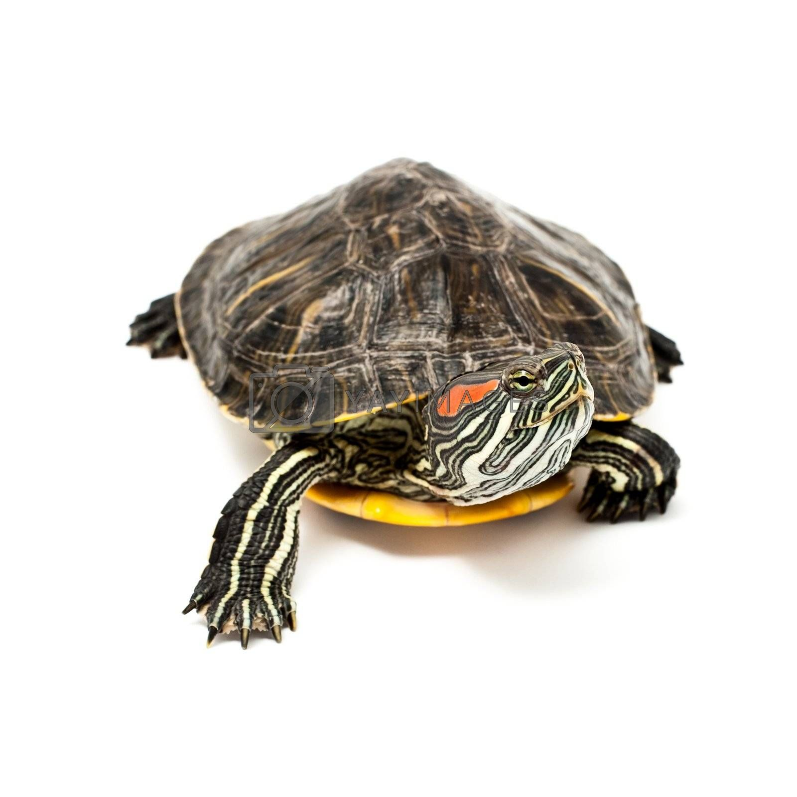 An image of turtle isolated on white