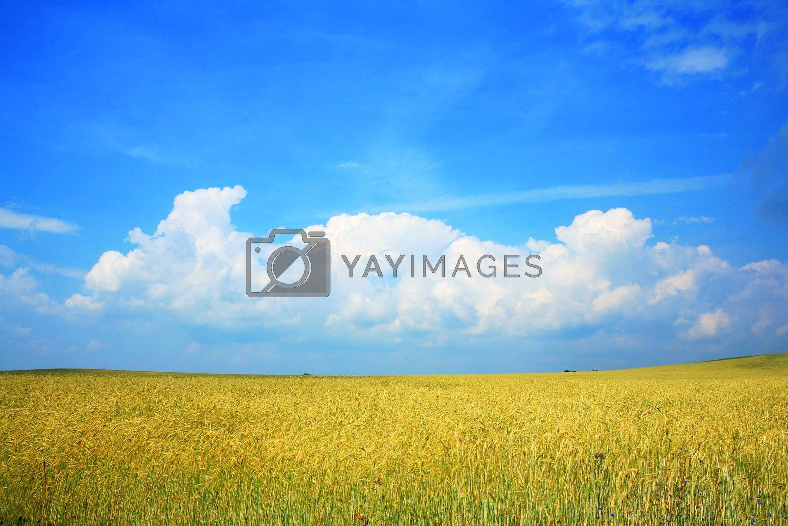An image of yellow field of wheat and blue sky