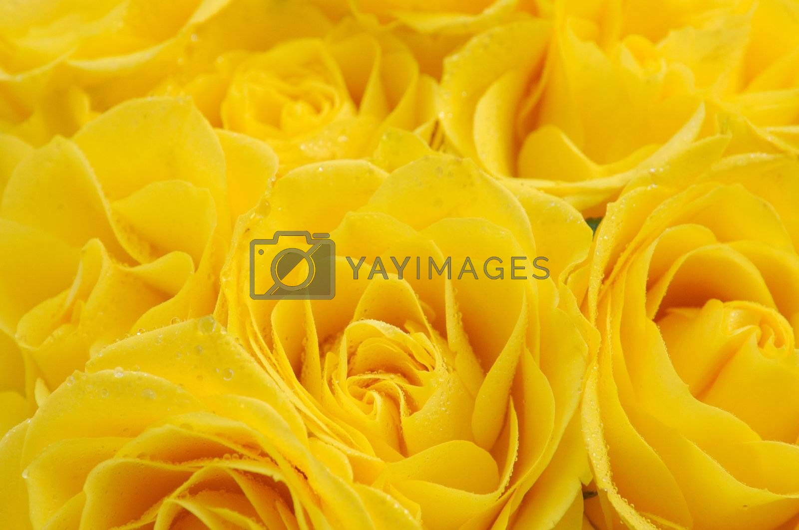 close up of yellow roses on the market