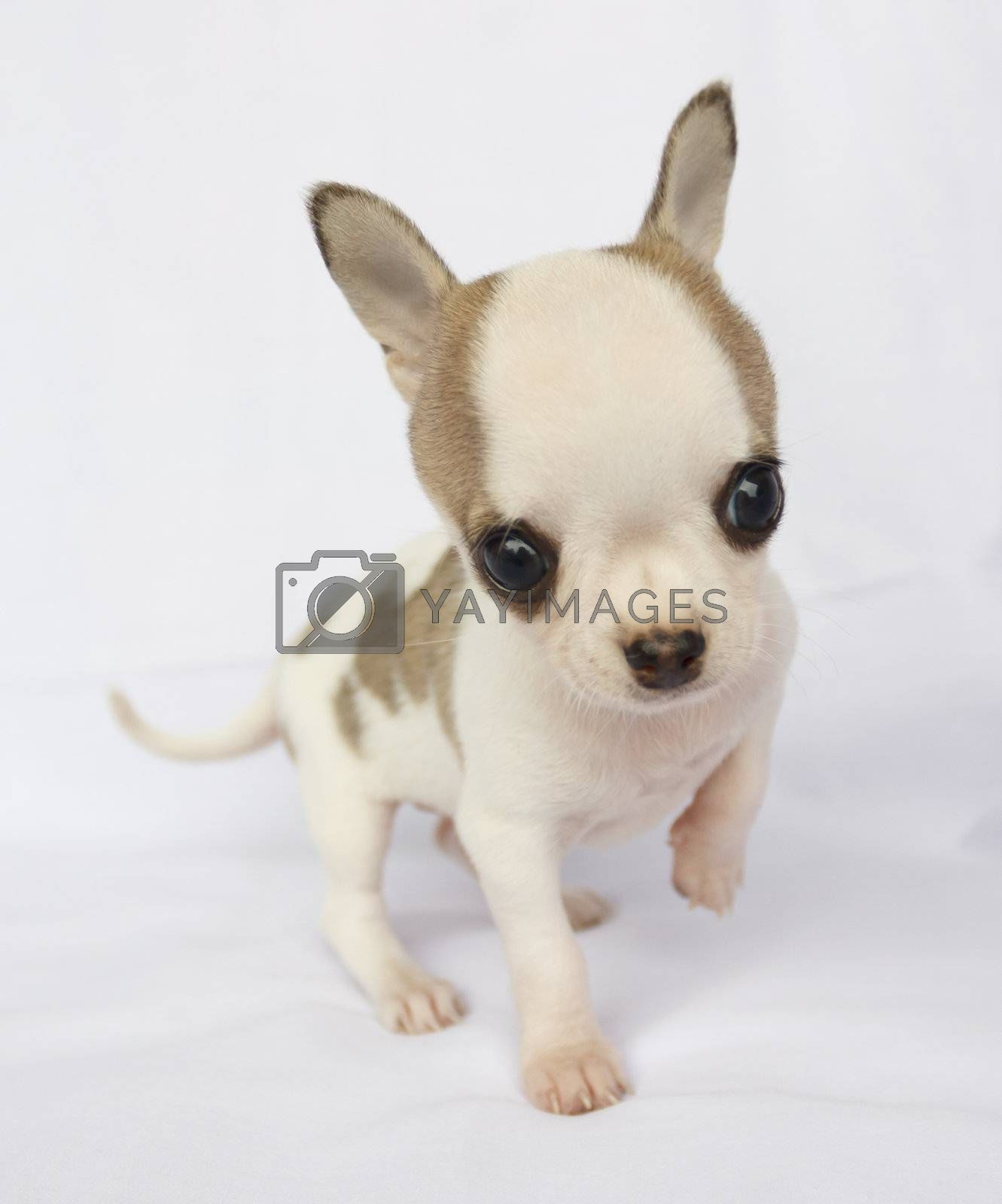 Puppy chihuahua standing on white fabric