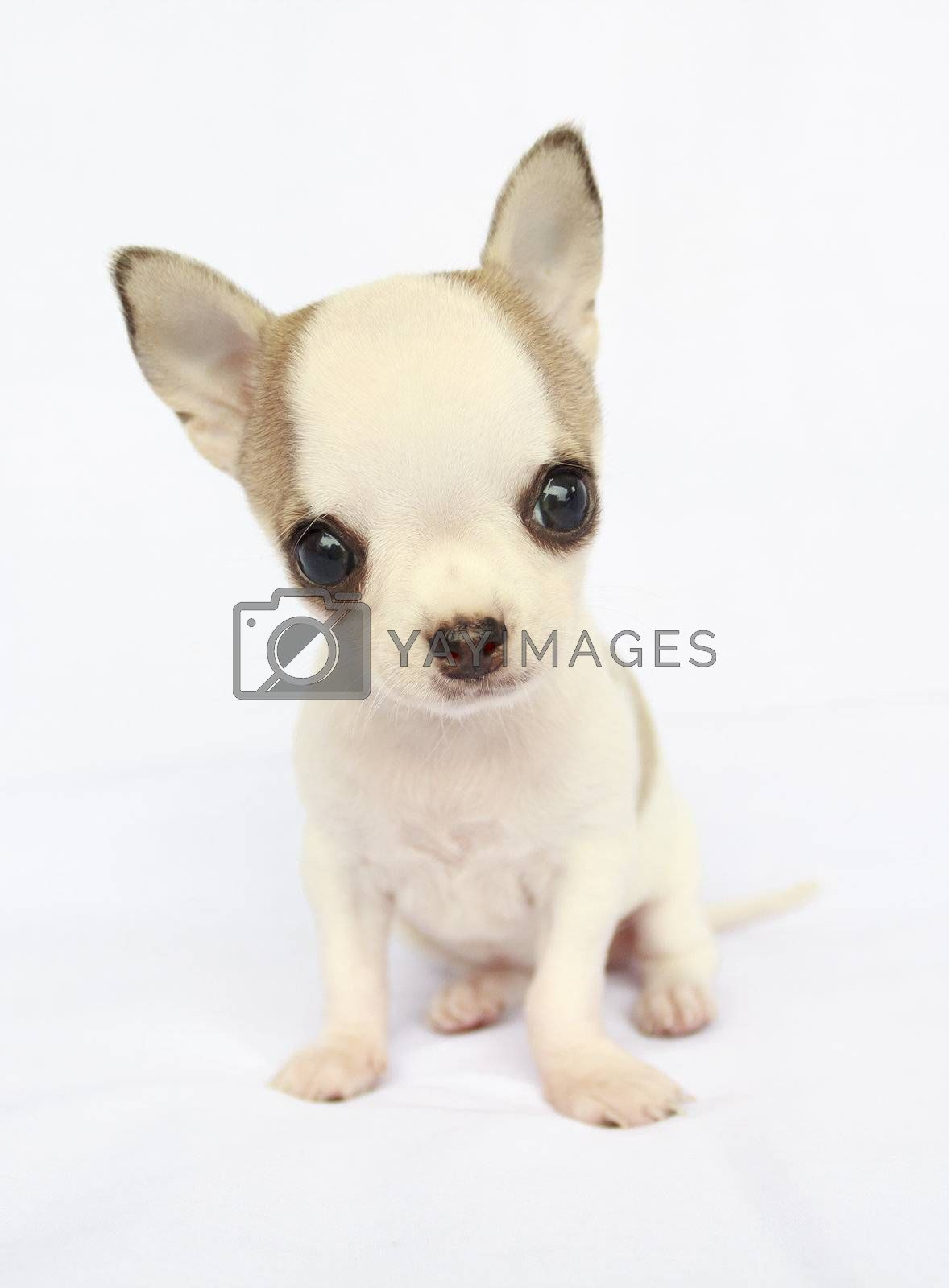 Puppy female chihuahua sitting on white fabric