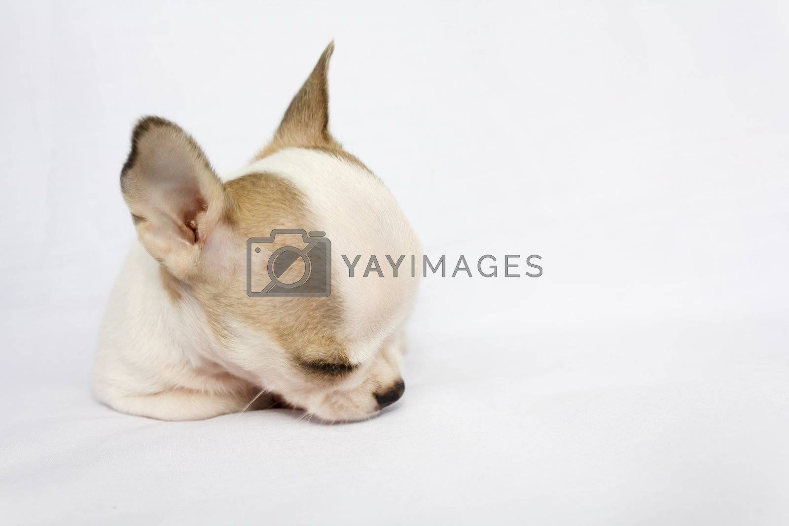 Puppy female chihuahua sleeping on white fabric