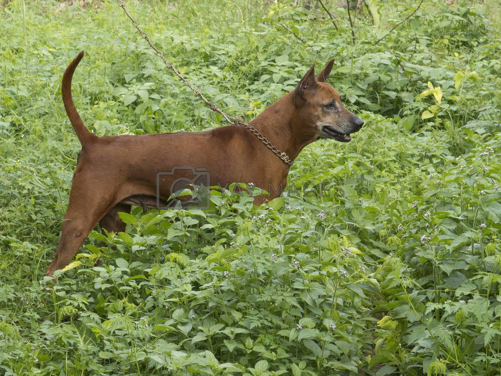 Beautiful Thai ridgeback dog female standing with collar and lead in a field of green grass