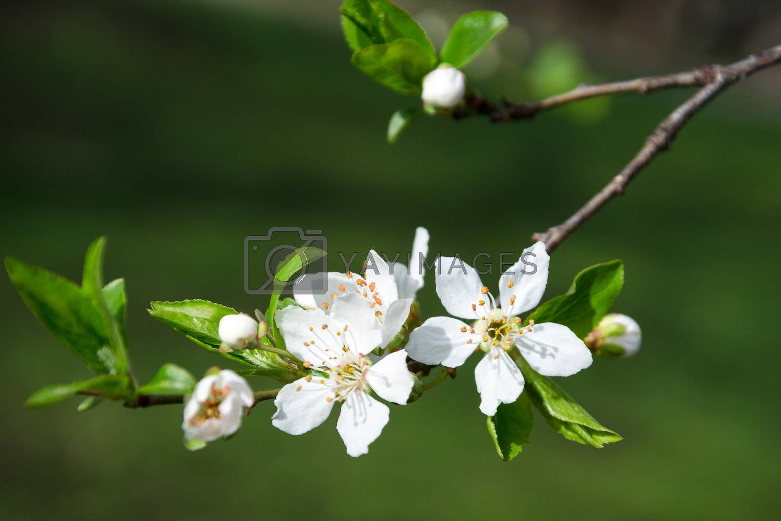 Branch of white blooming buds on a dark background