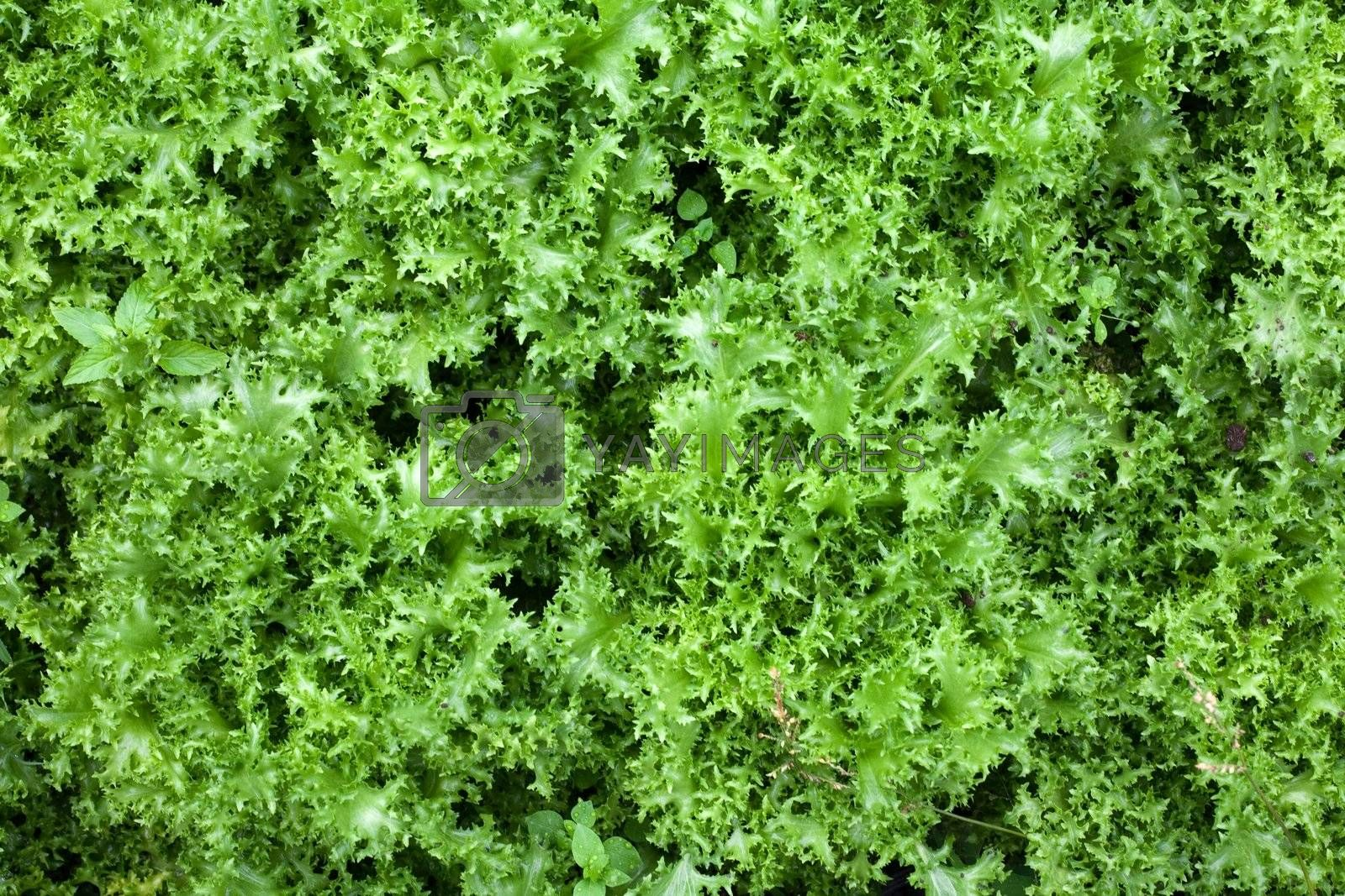 An image of healthy food: green lettuce