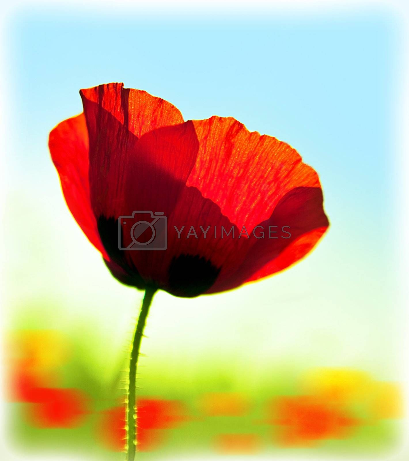 Blooming flower poppy field, big red plant blossom, spring meadow, natural colorful garden glade, abstract floral fresh background