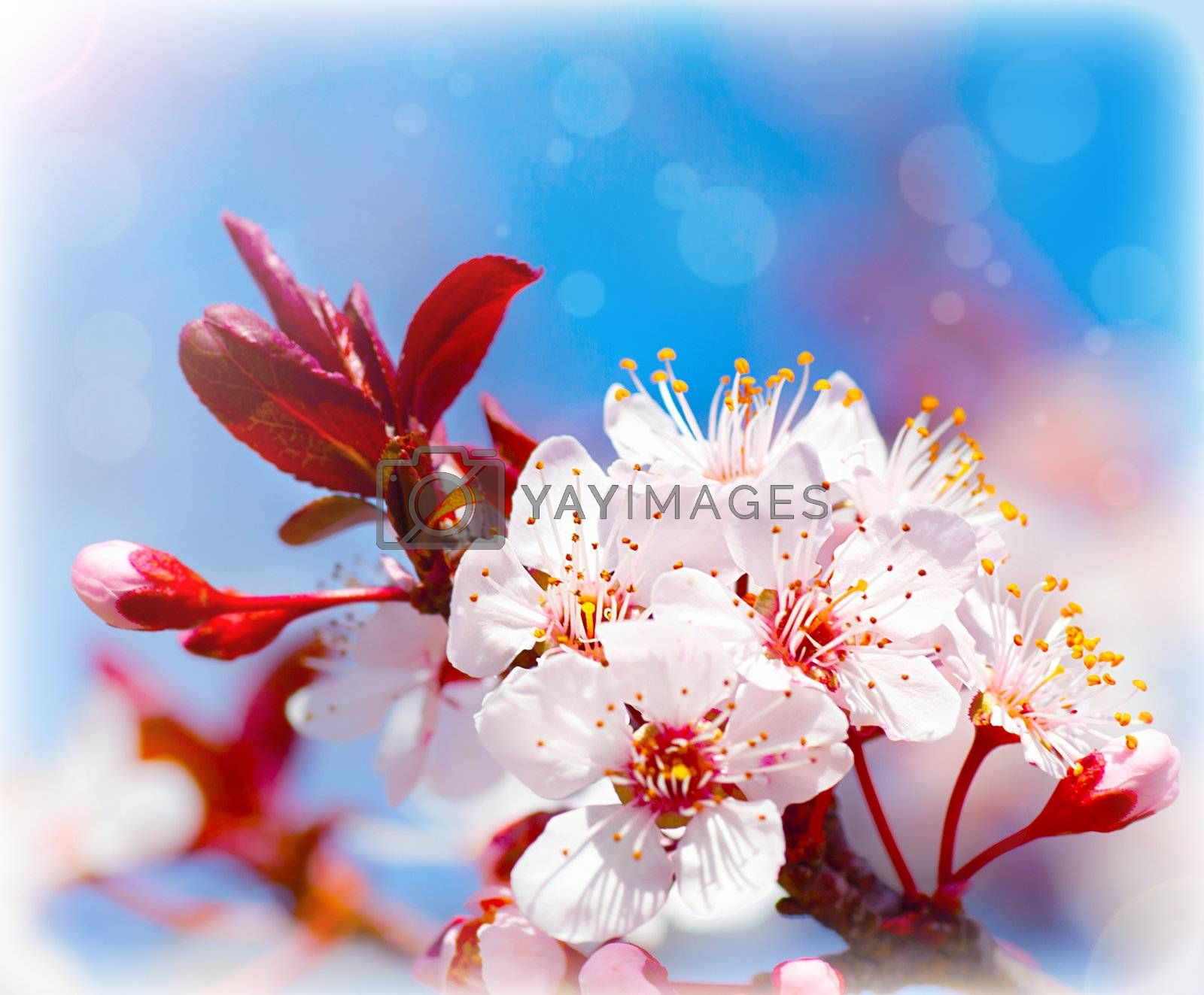 Blooming tree at spring, fresh white flowers on the branch of fruit tree, plant blossom abstract background, seasonal nature beauty, dreamy soft focus picture of springtime