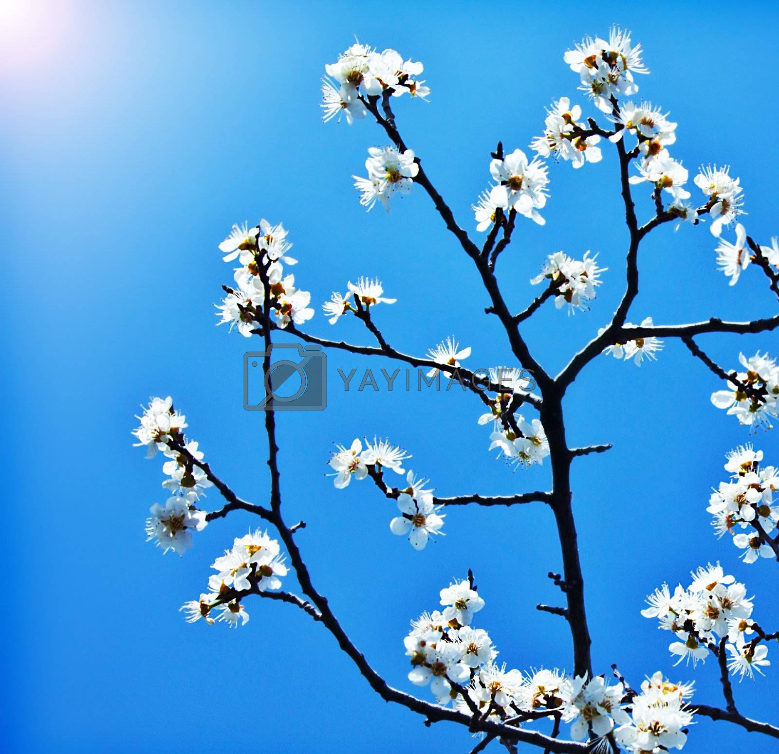 Blooming tree at spring, fresh white flowers on the branch of fruit tree over blue sky, plant blossom abstract floral background, seasonal nature beauty, springtime
