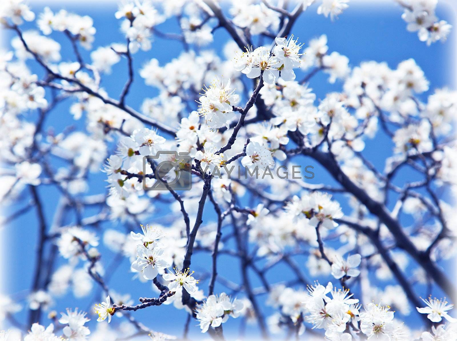 Abstract floral background, blooming tree at spring, fresh white flowers on the branch of fruit tree, plant blossom, seasonal nature beauty, springtime