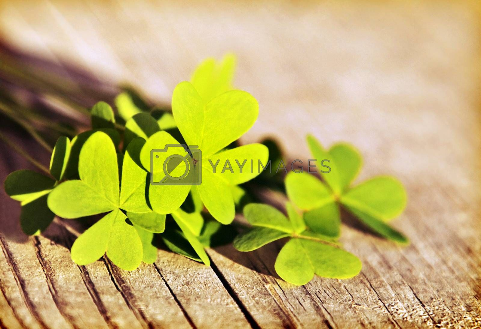 Fresh clover leaves over wooden background, green spring floral border, lucky shamrock, St.Patrick's day holiday symbol