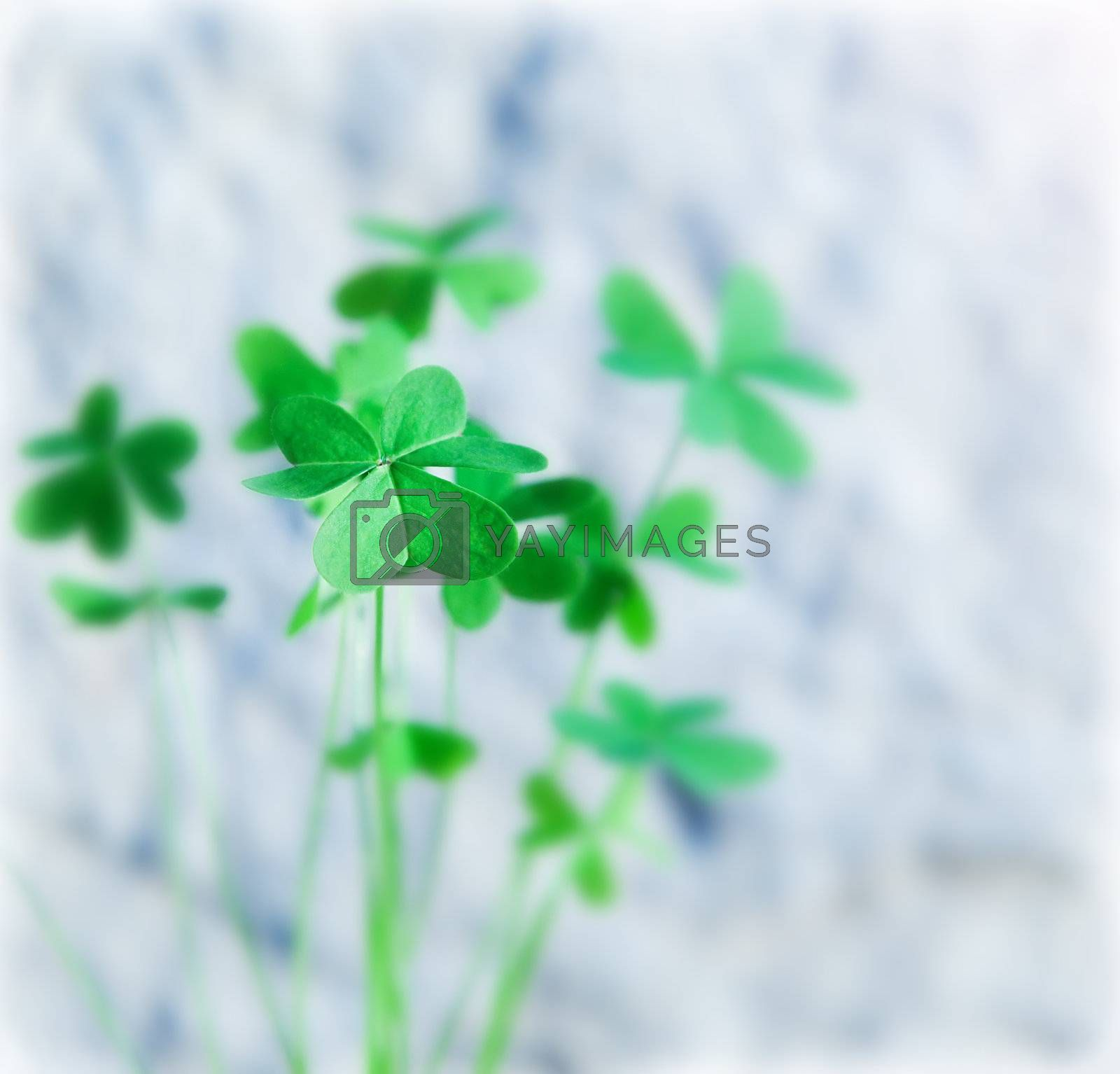Fresh clover leaves, green spring floral plant, lucky shamrock, St.Patrick's day holiday symbol, abstract natural background, shallow depth