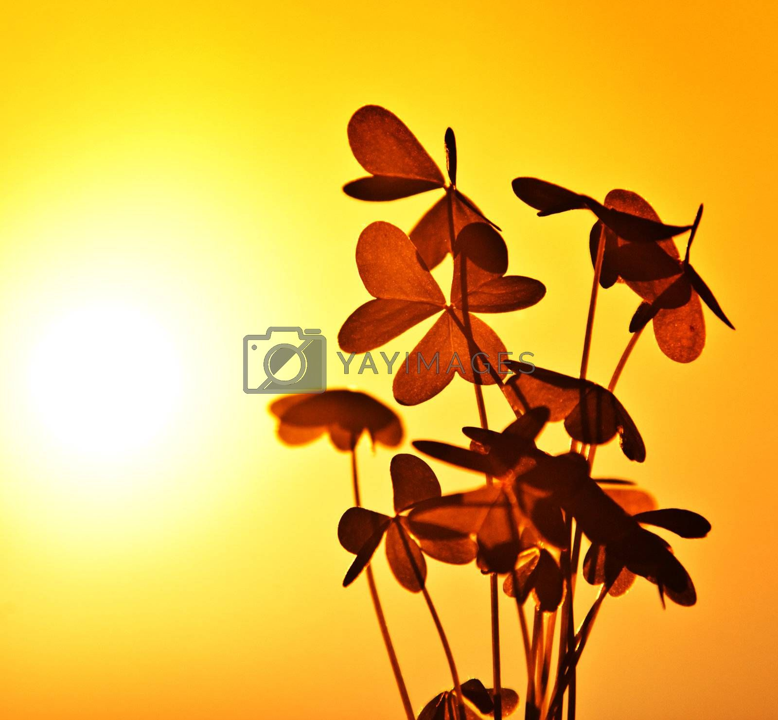 Clover at sunset, silhouette of shamrock plant over warm yellow sky background, abstract floral image, spring nature