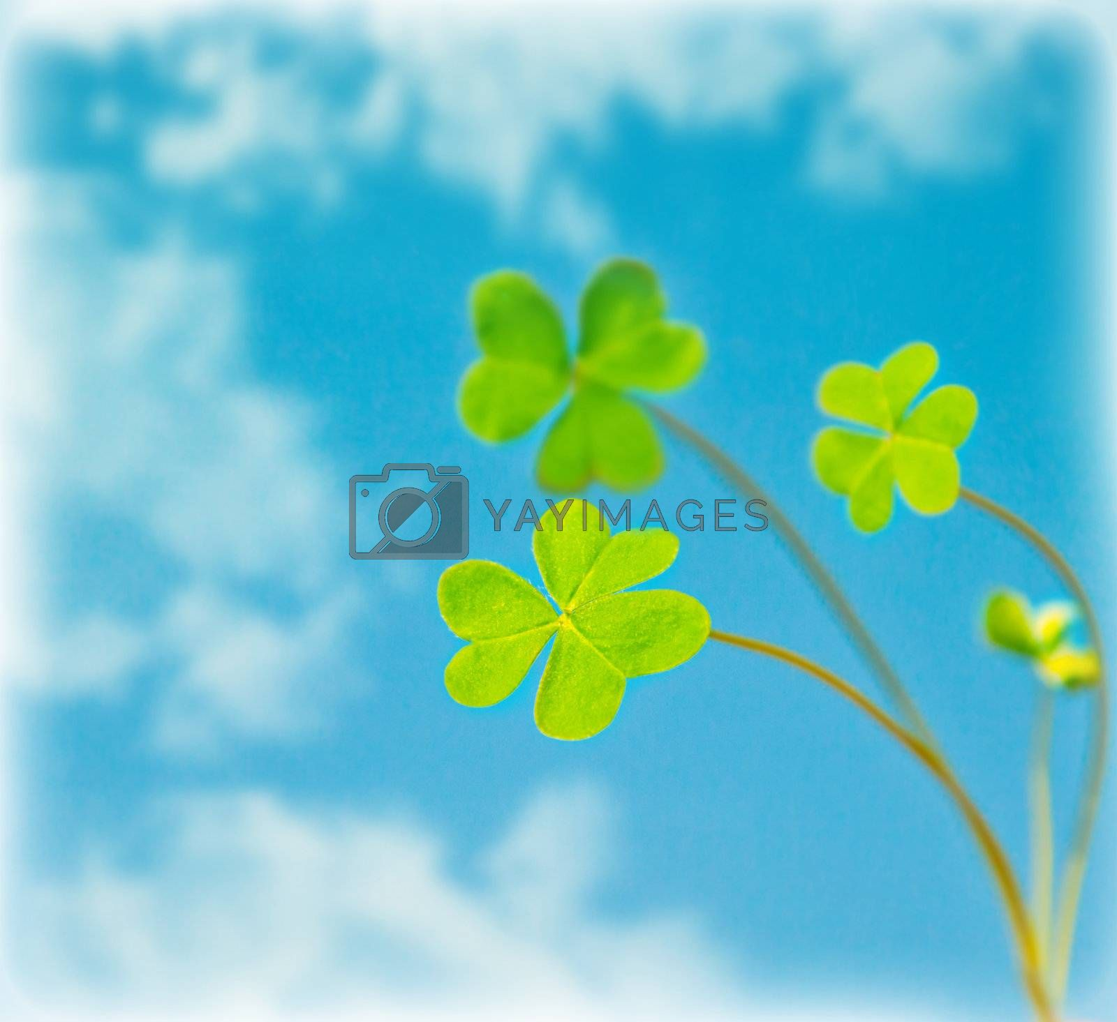 Abstract natural background, clover over sky, fresh green spring plant in blue sky, floral border, st.Patrick's day, holiday luck symbol