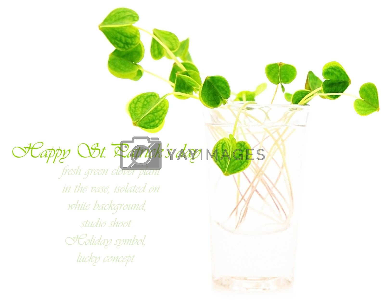 Green fresh clover in the vase, st.Patrick's holiday day decoration isolated on white background with text space