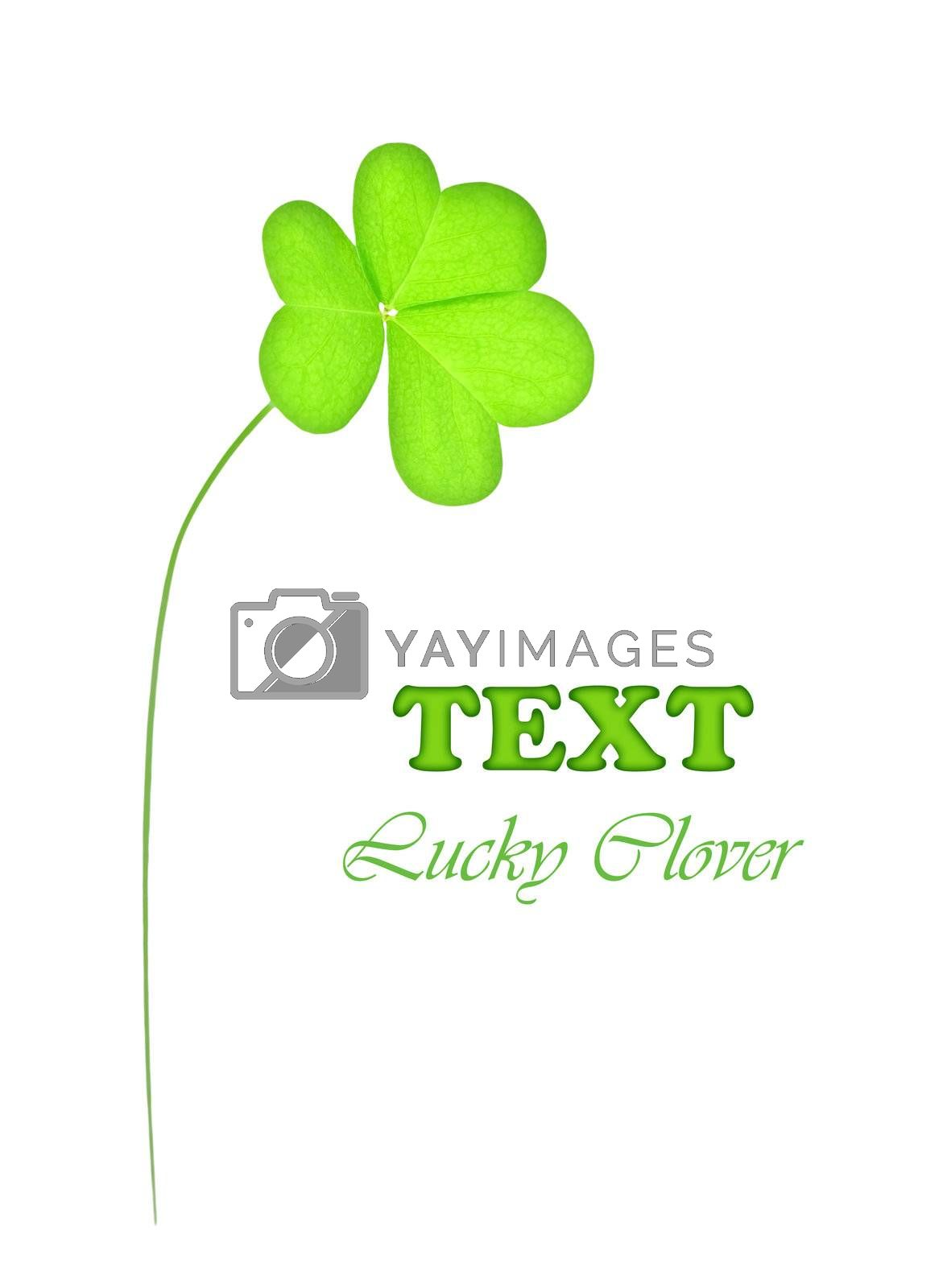 Green fresh clover, st.Patrick's day decoration isolated on white background with text space
