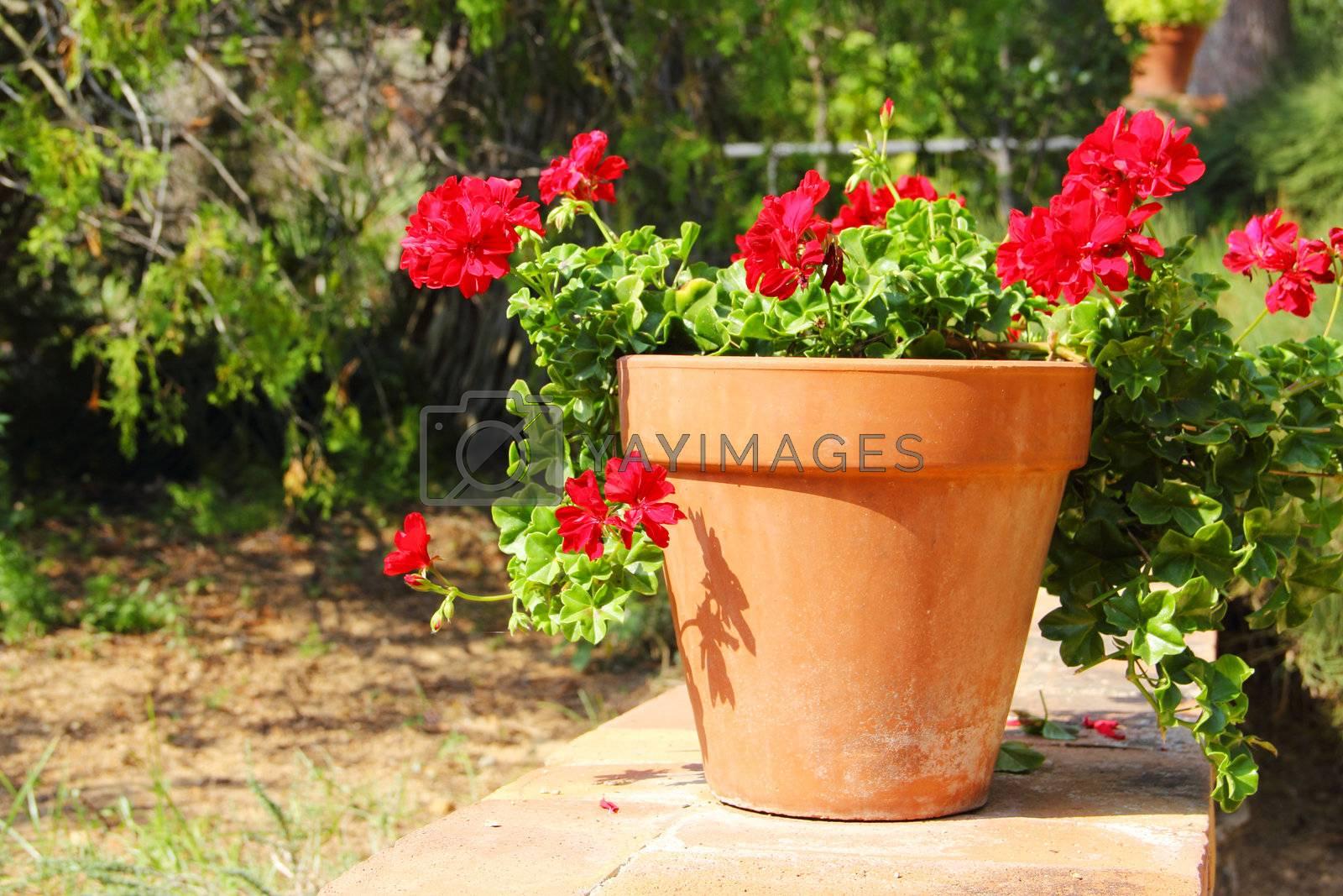 Red flower in pot standing in garden outdoors