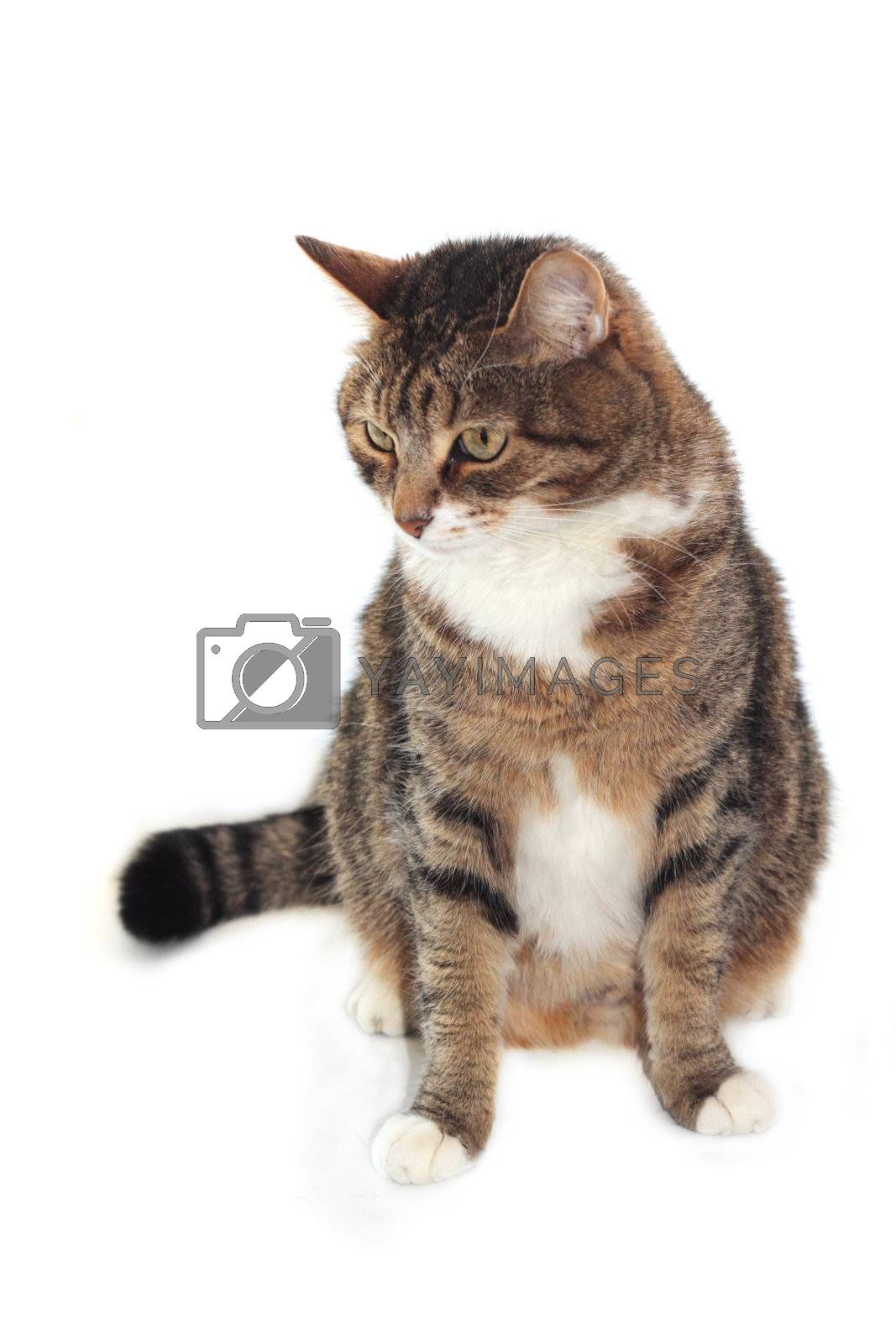 Adult cat isolated on white background close up