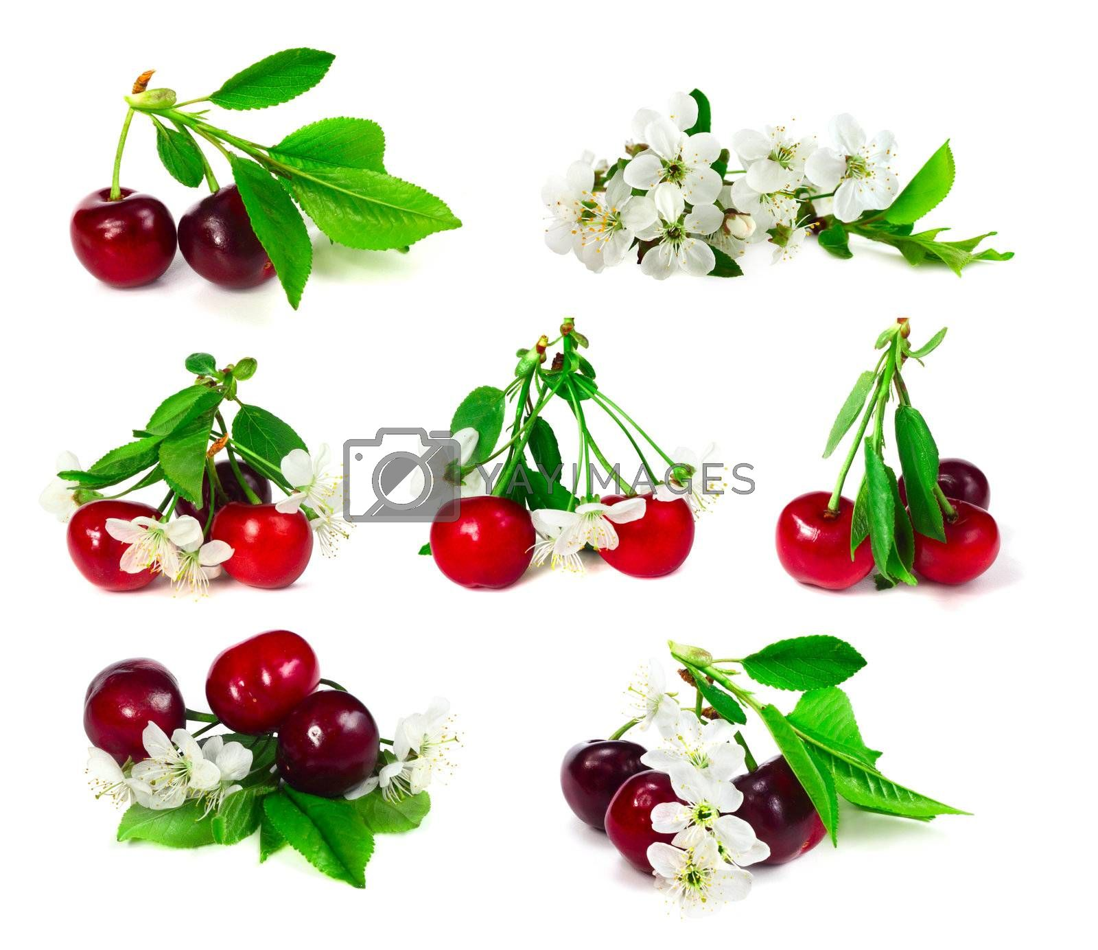Set of cherry with leafs and flowers isolated on white background