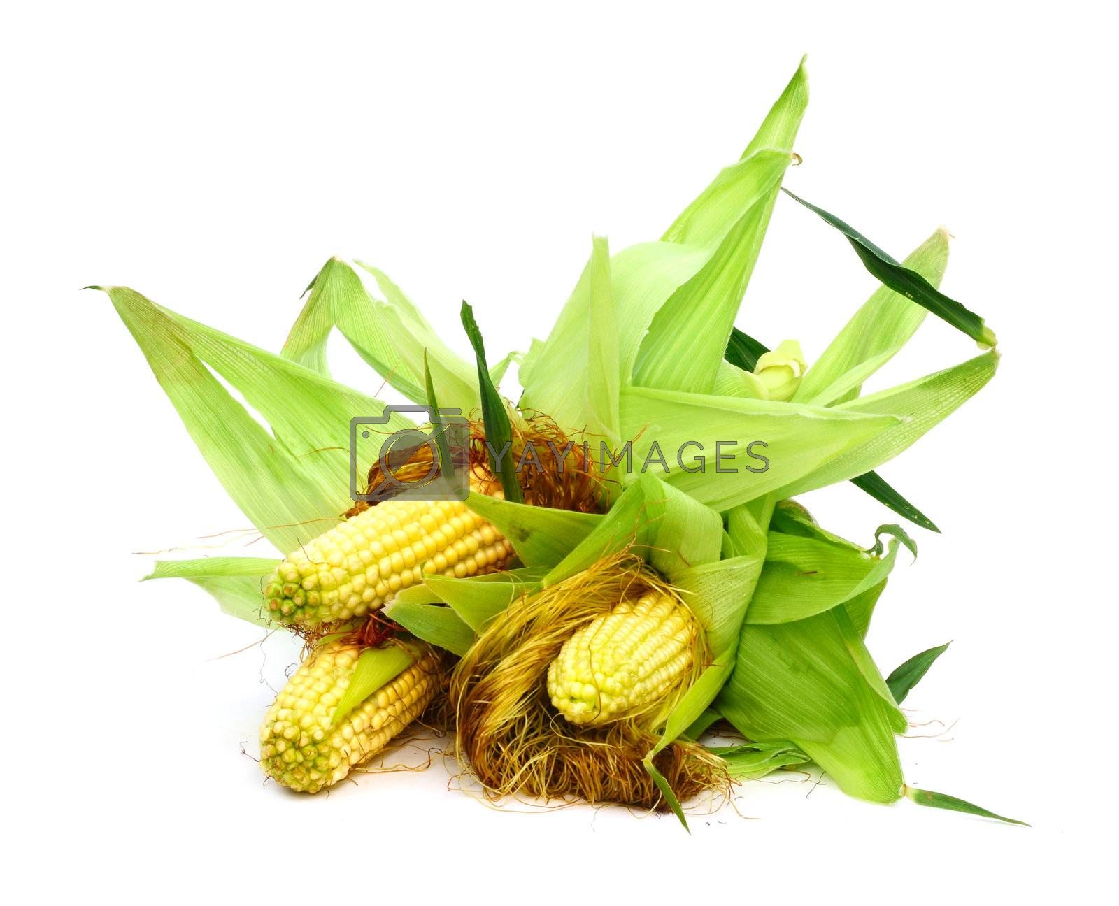 Three ears of corn isolated on a white background