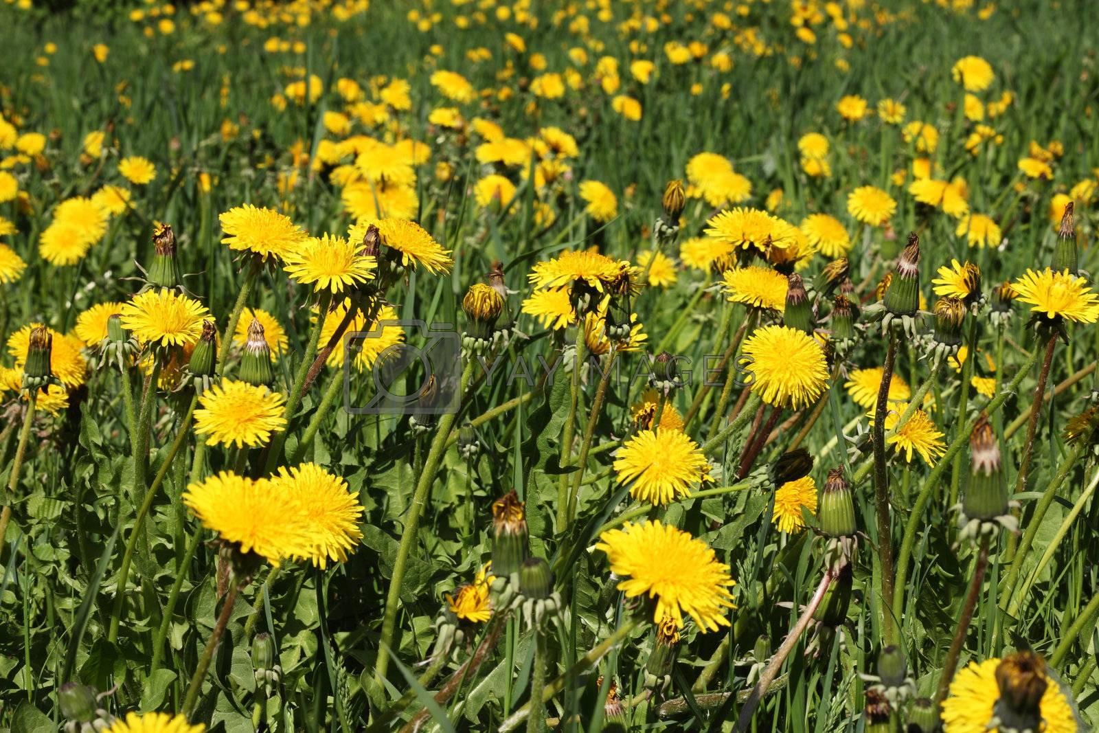 yellow spring dandelion field macro close up