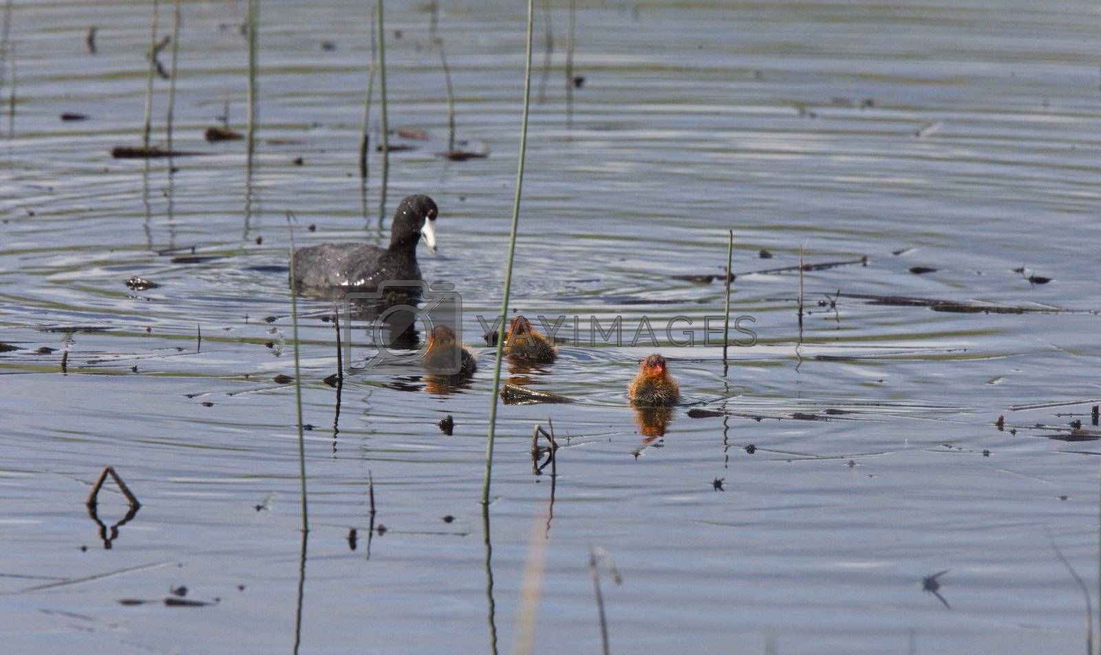 Waterhen Coot with Babies  by pictureguy